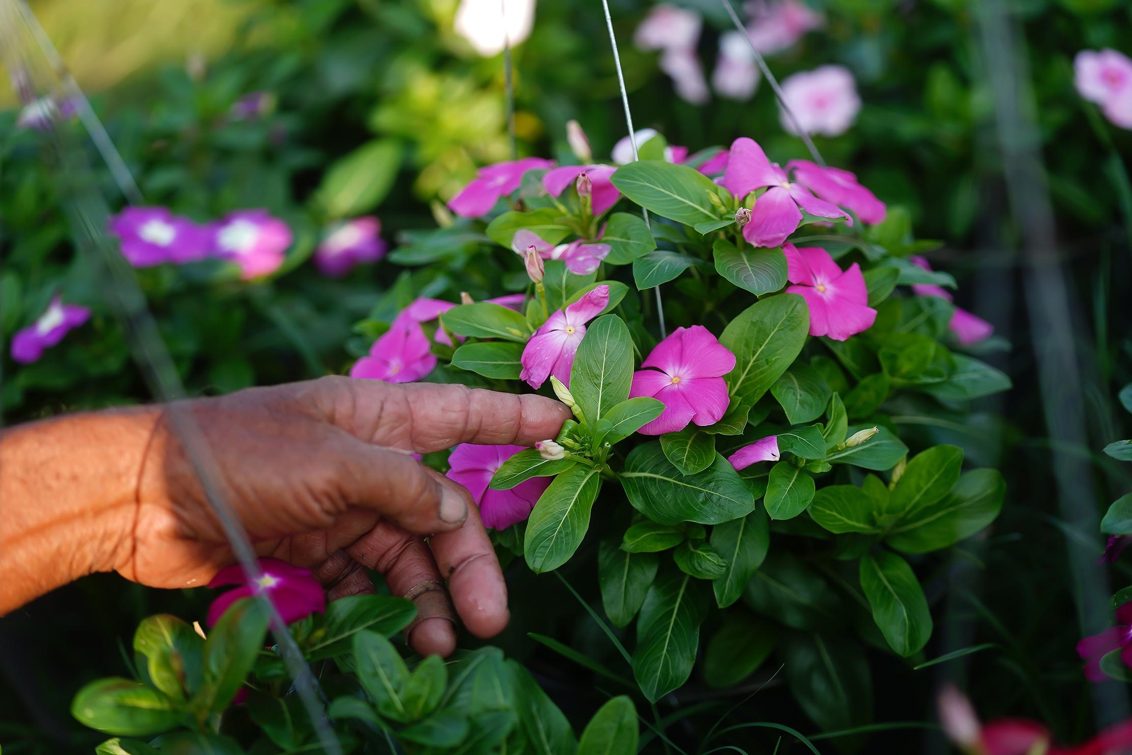 Những ruộng hoa háo hức chờ xuất vườn đón xuân Canh Tý - 8