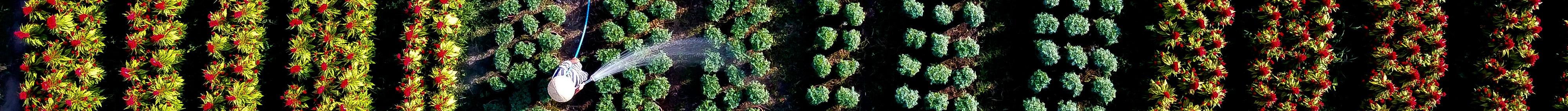 Những ruộng hoa háo hức chờ xuất vườn đón xuân Canh Tý - 2