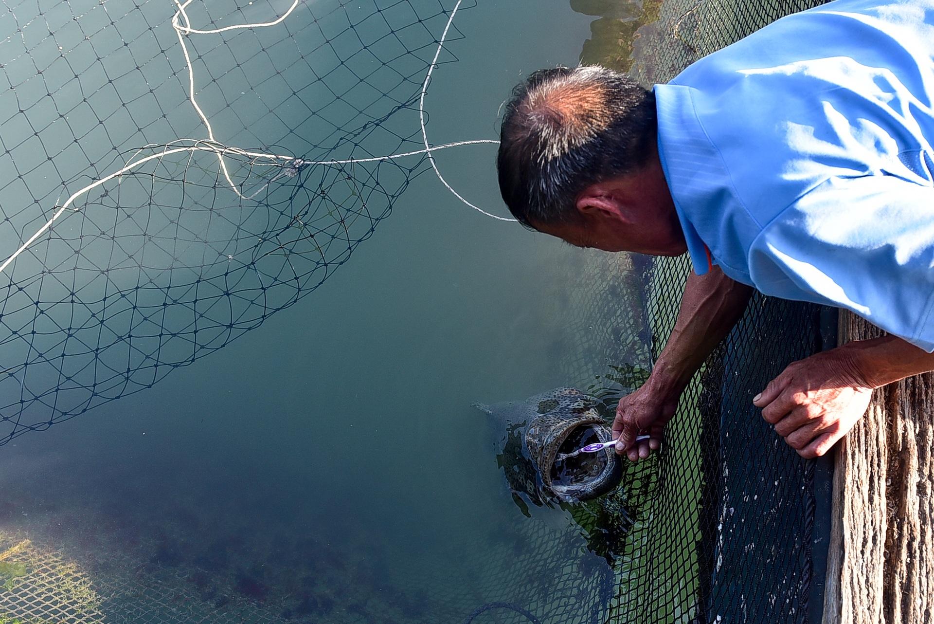 Chuyện lạ tại Quảng Ninh: Cá song mê đánh răng, thích vuốt ve, trò chuyện với người - 13