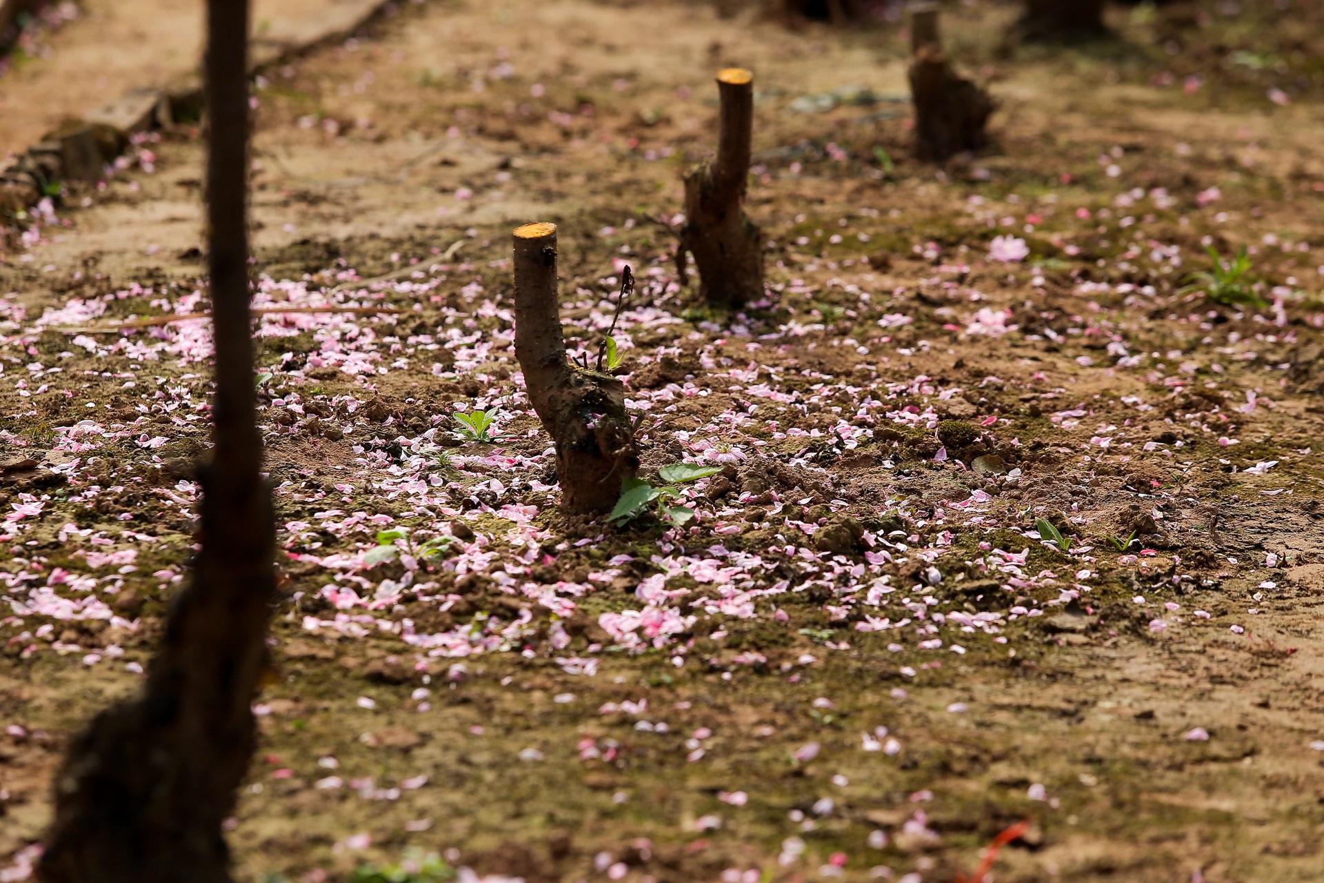 Đào Nhật Tân bung nở, rụng đỏ gốc: Khách kéo nhau chụp ảnh, nông dân thẫn thờ lo trắng tay - 8