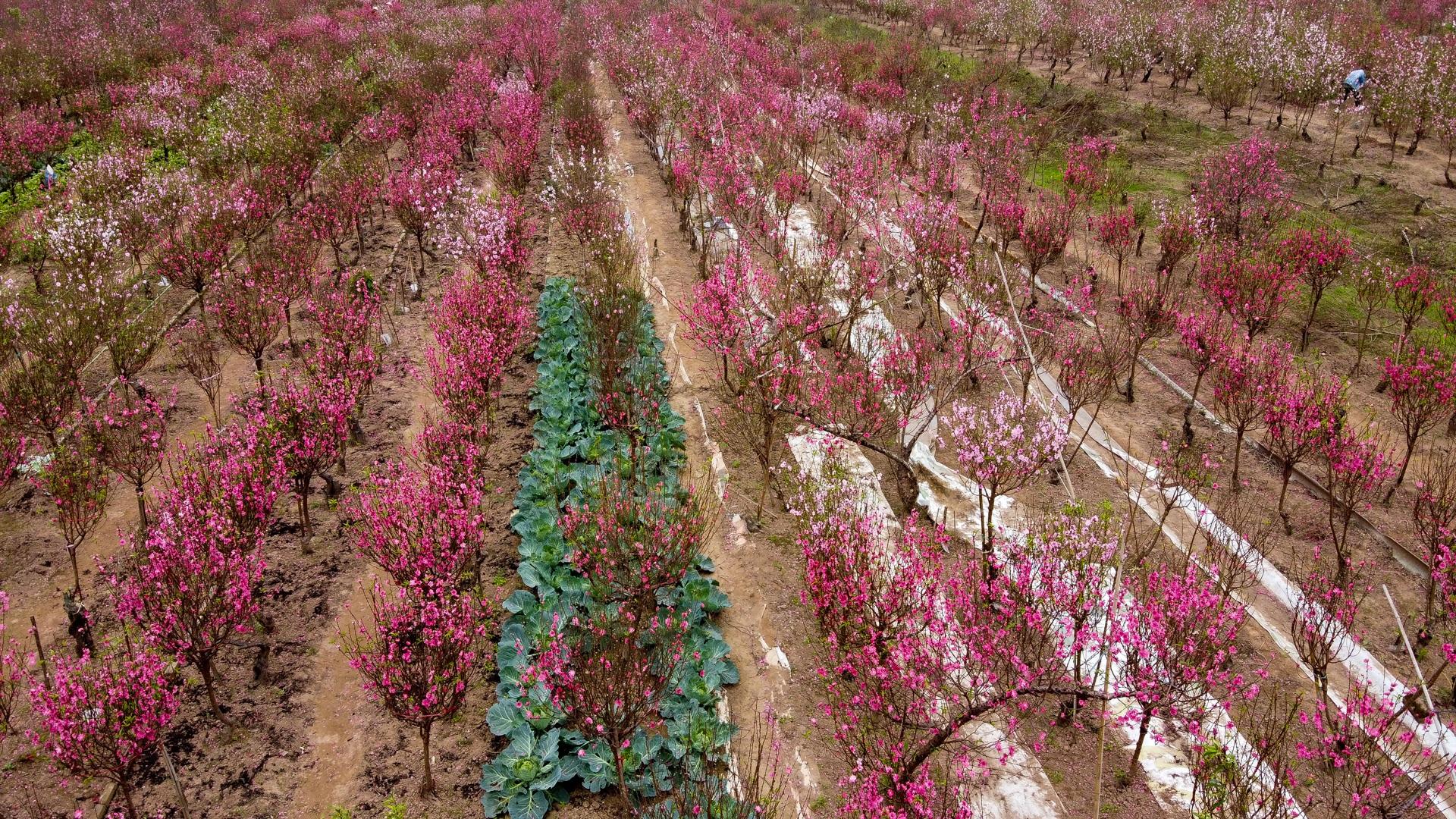 Đào Nhật Tân bung nở, rụng đỏ gốc: Khách kéo nhau chụp ảnh, nông dân thẫn thờ lo trắng tay - 24