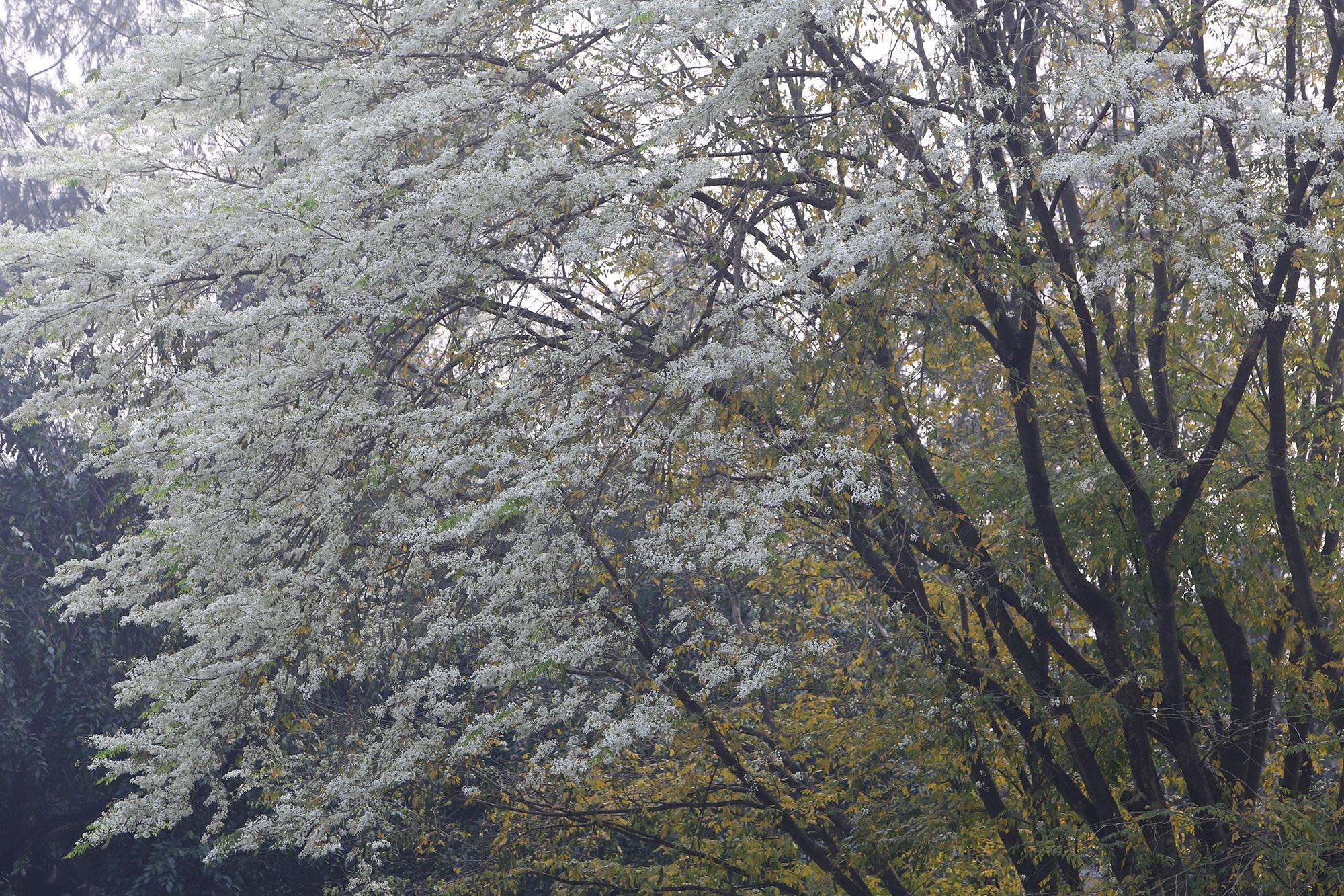 Ngắm hoa sưa nở trắng trời Hà Nội - 10