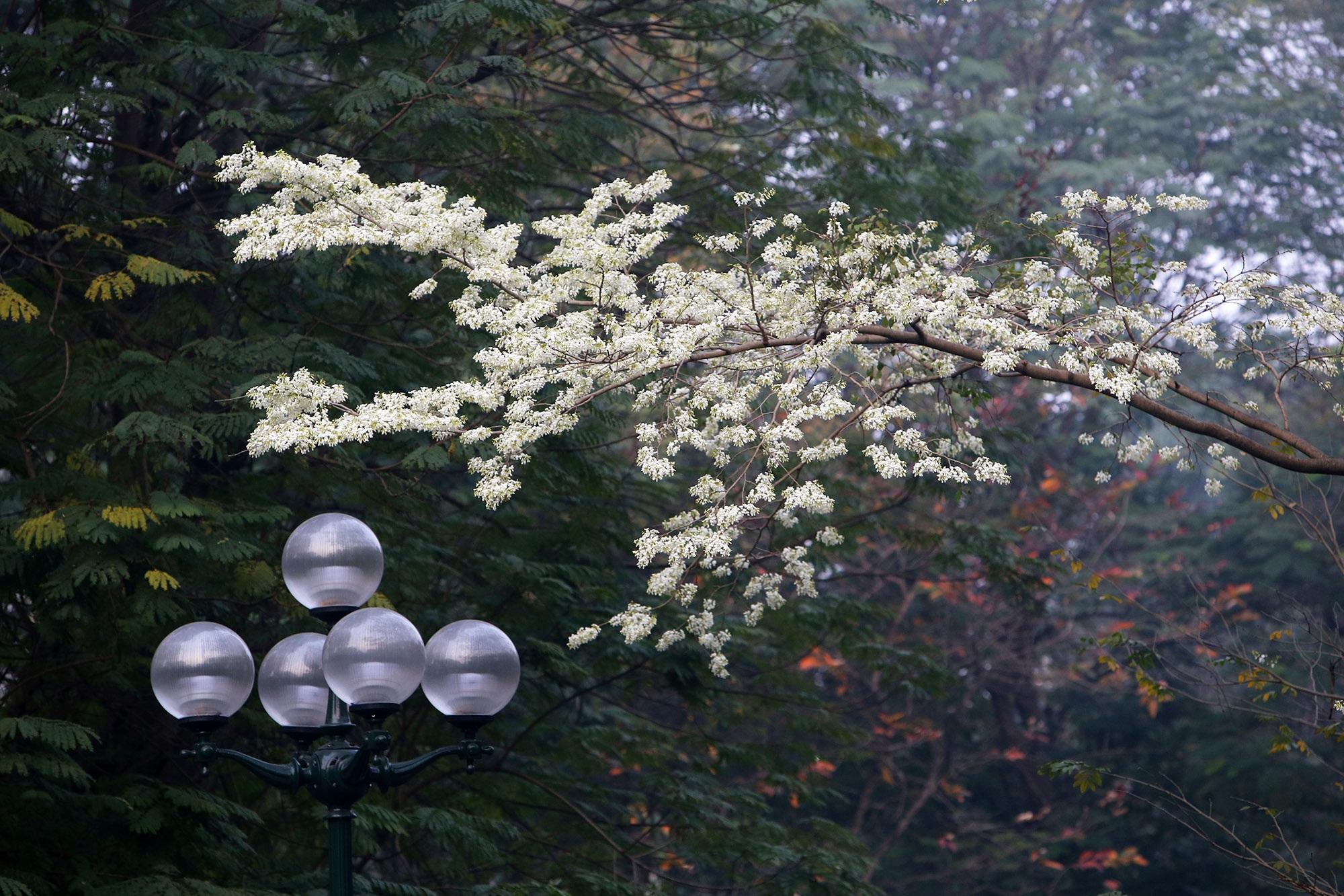 Ngắm hoa sưa nở trắng trời Hà Nội - 11