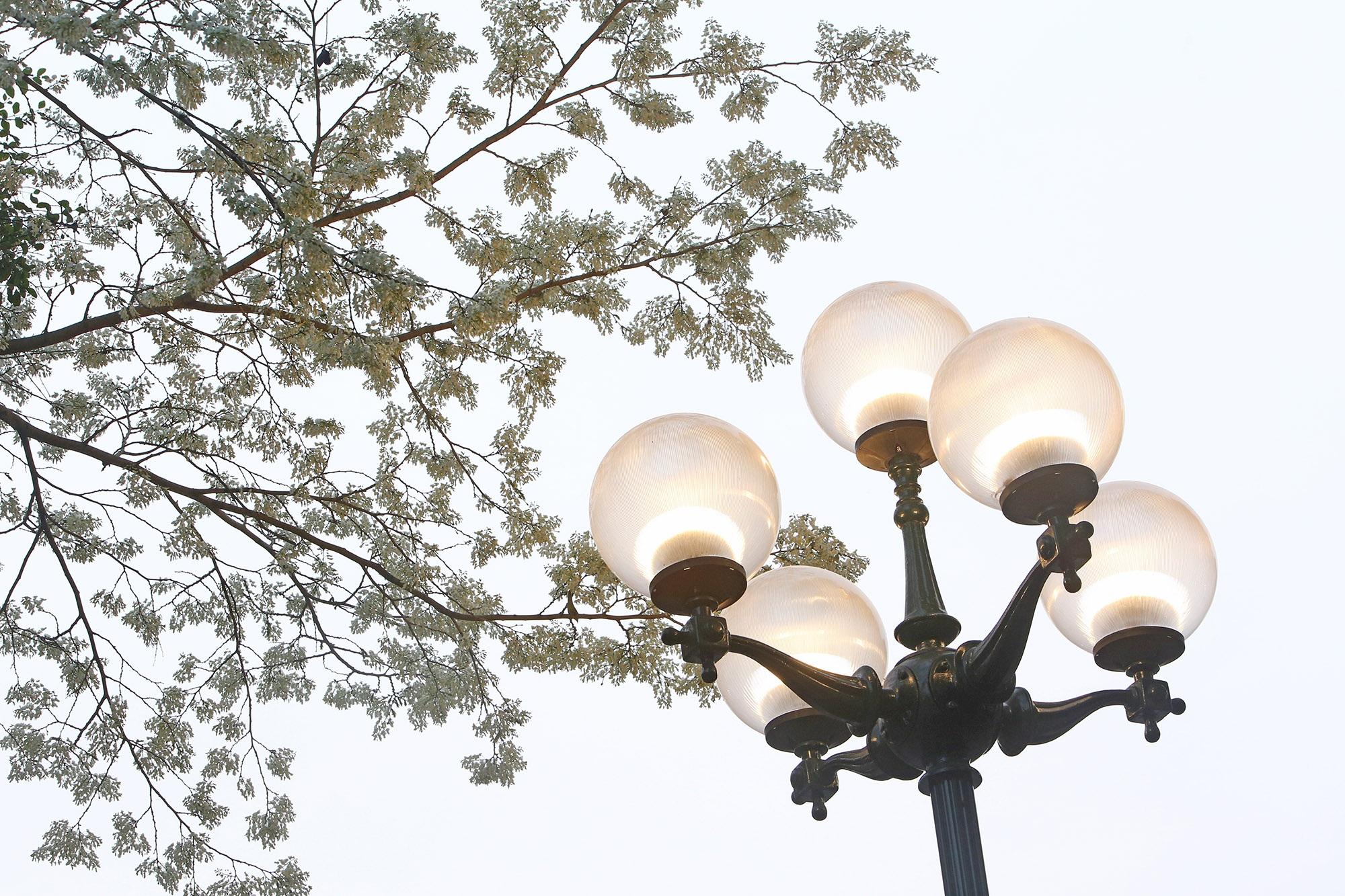 Ngắm hoa sưa nở trắng trời Hà Nội - 12