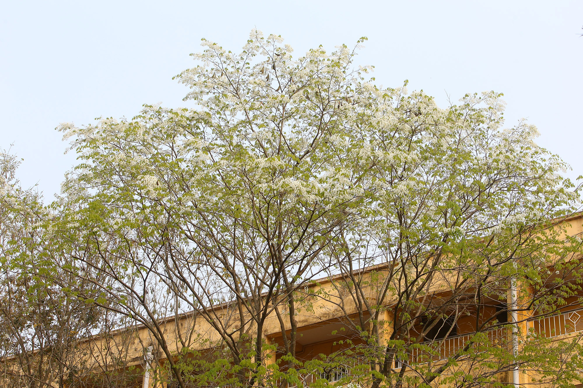 Ngắm hoa sưa nở trắng trời Hà Nội - 15