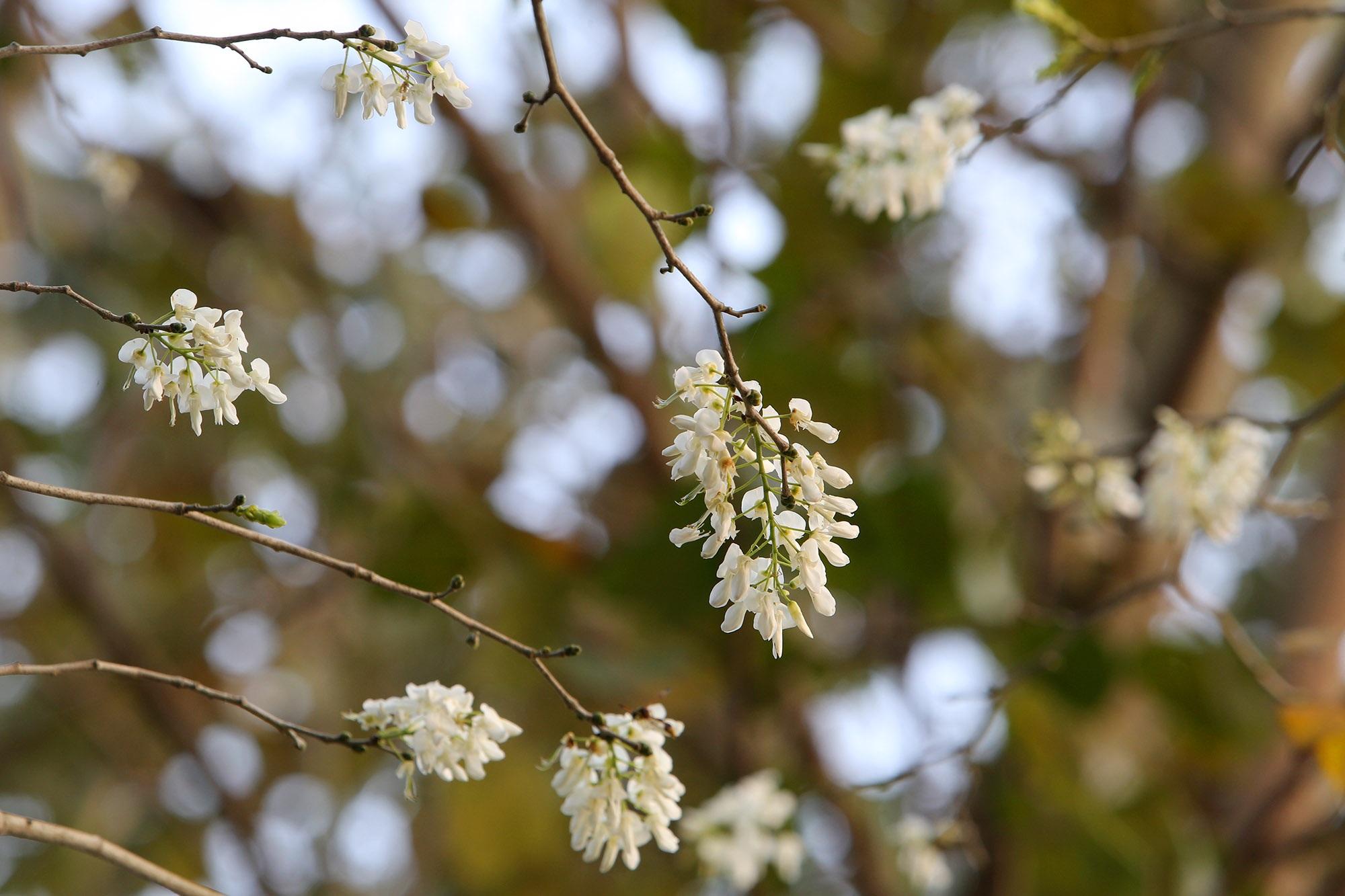 Ngắm hoa sưa nở trắng trời Hà Nội - 4