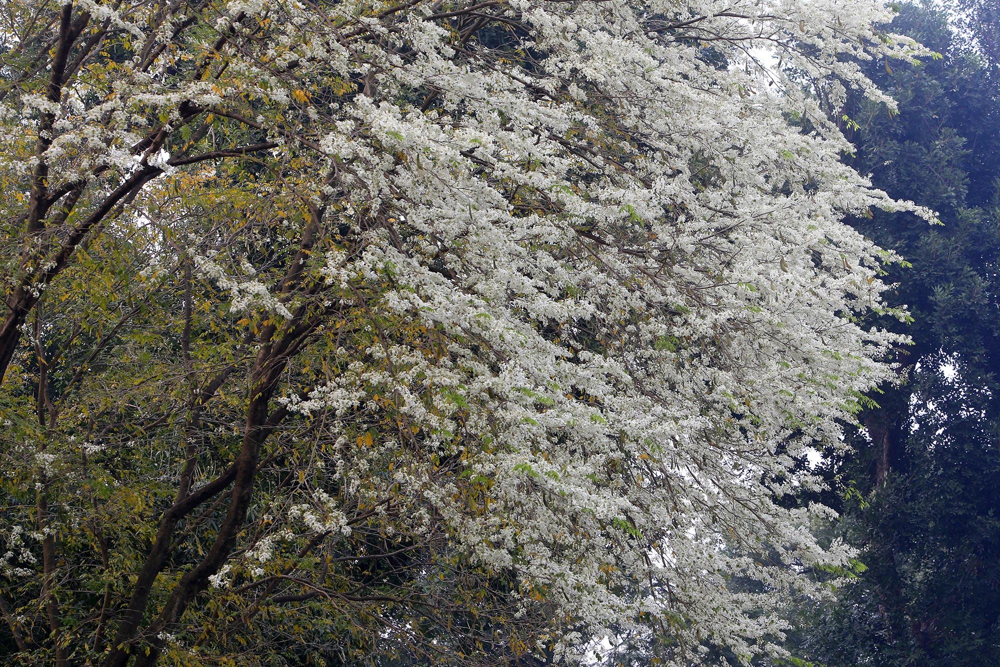 Ngắm hoa sưa nở trắng trời Hà Nội - 5