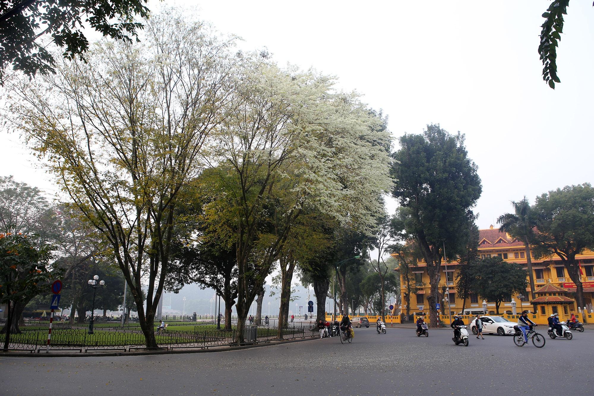 Ngắm hoa sưa nở trắng trời Hà Nội - 6