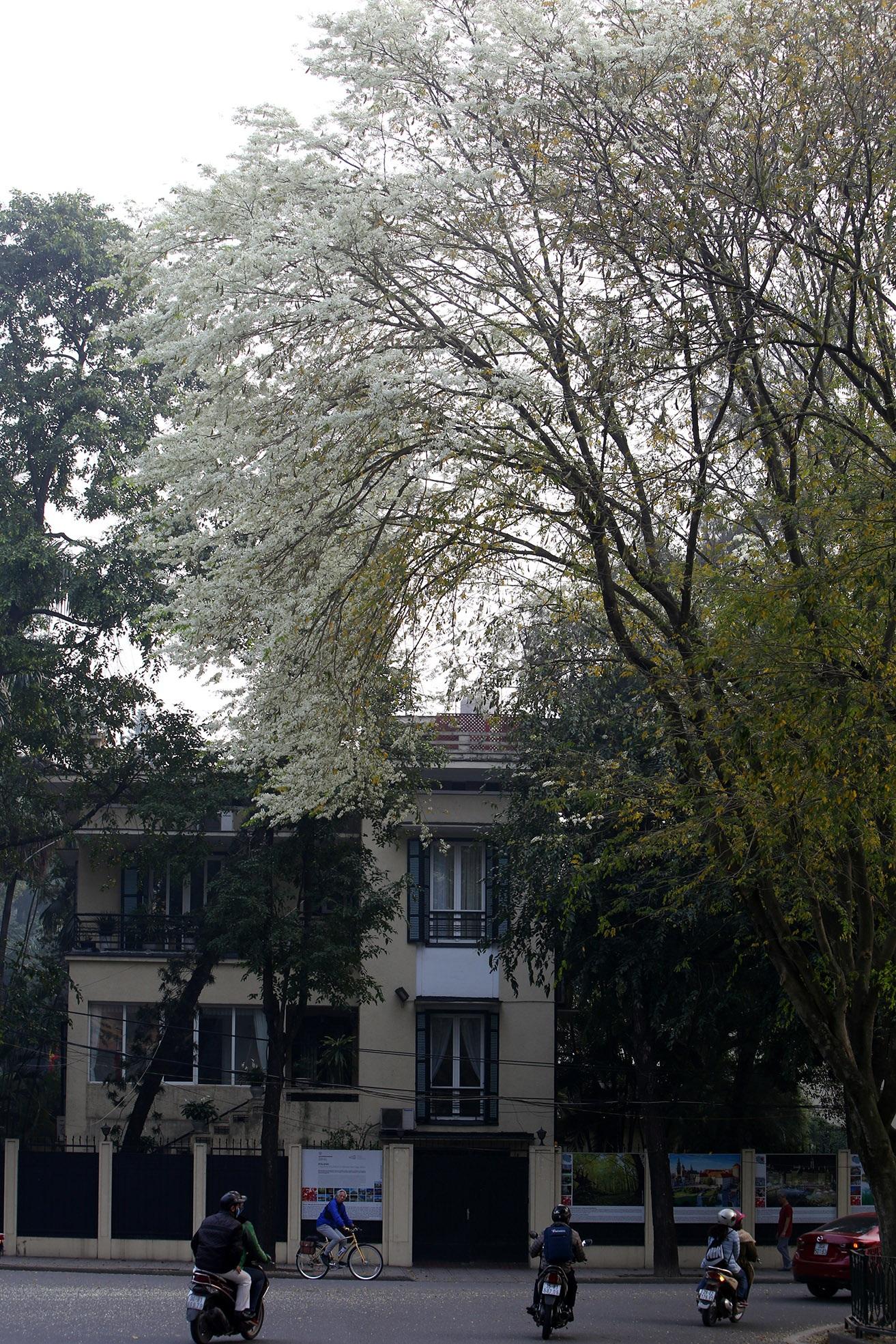 Ngắm hoa sưa nở trắng trời Hà Nội - 7