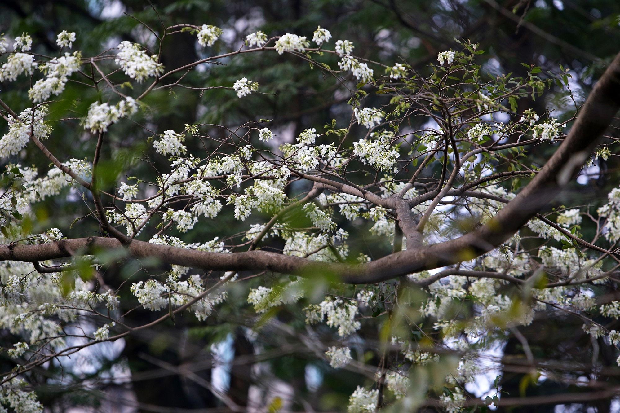 Ngắm hoa sưa nở trắng trời Hà Nội - 8