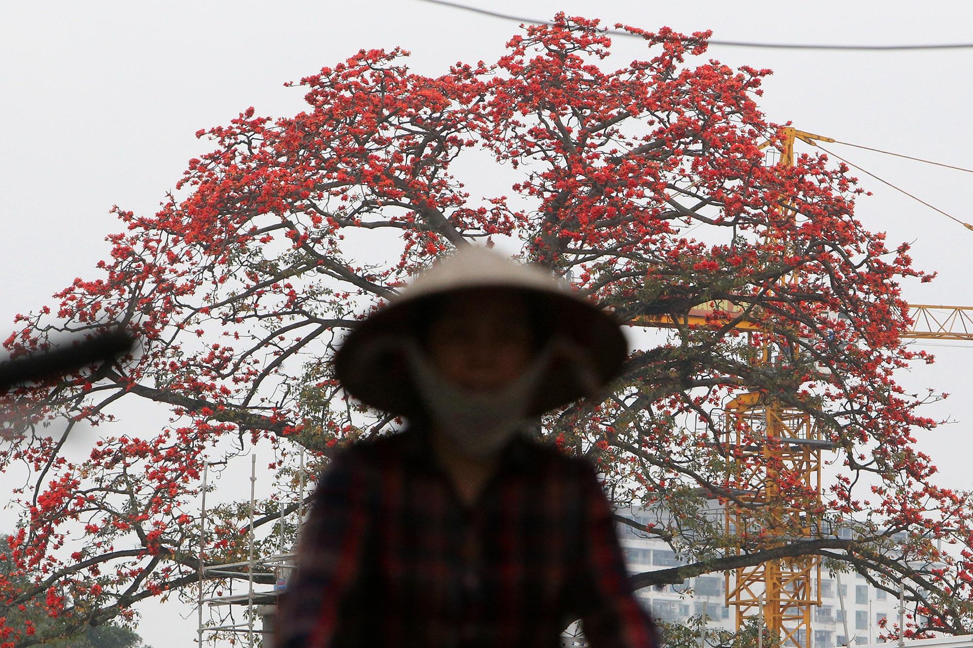 Cảnh sắc hoa gạo đỏ rực một góc trời Hà Nội - 8