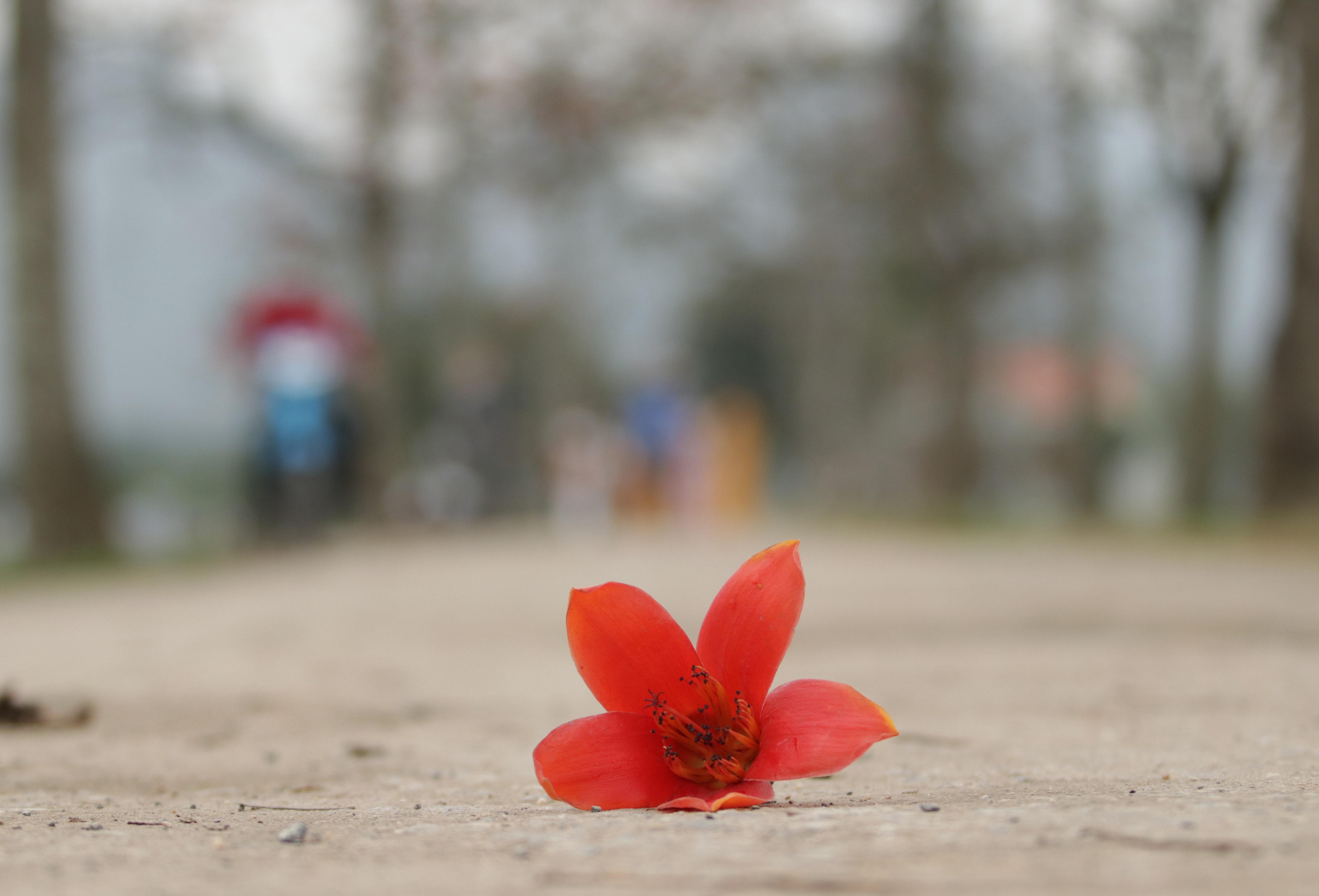 Hoa gạo nhuộm đỏ những góc trời ở ngoại thành Hà Nội - 17