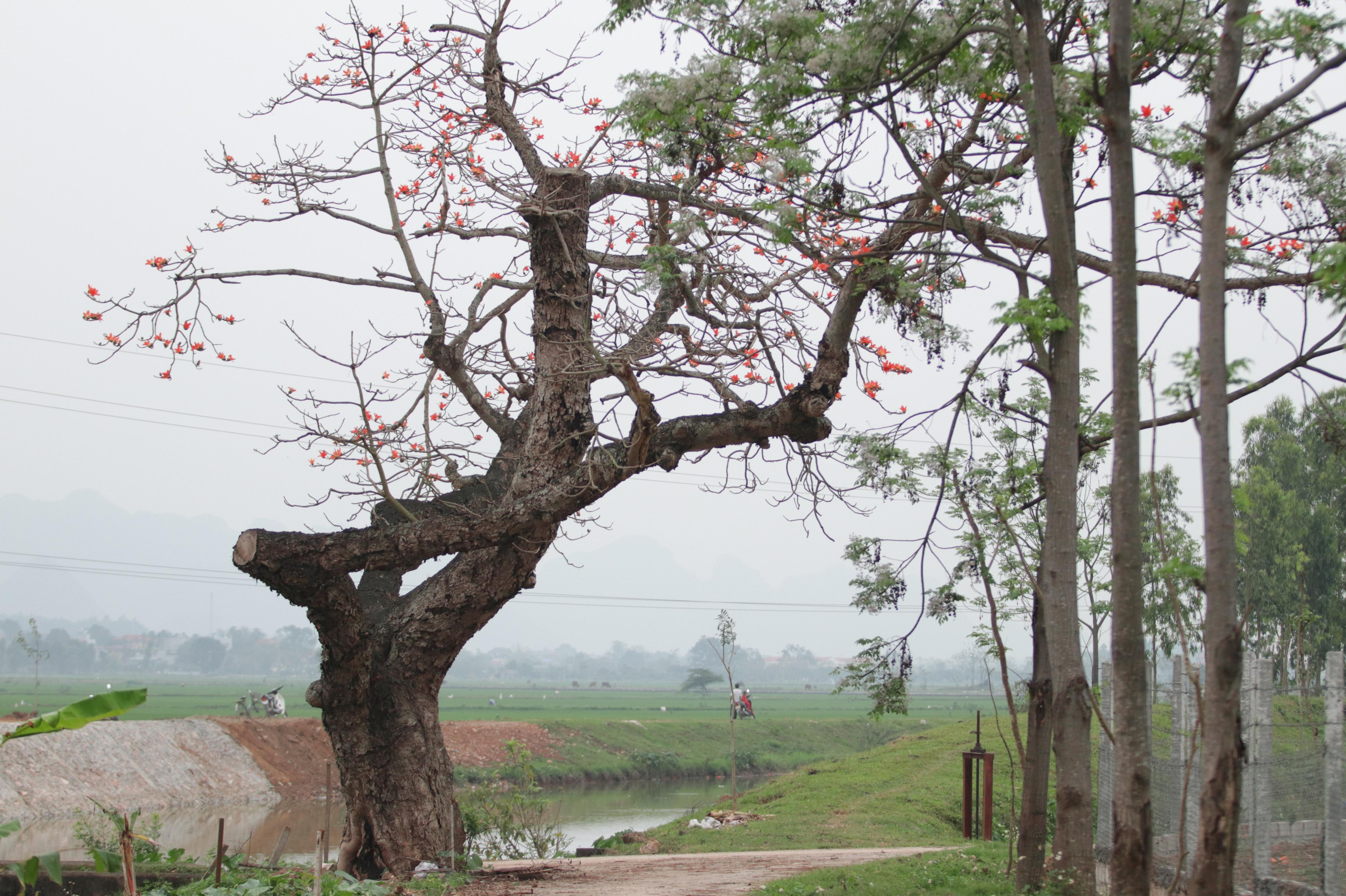 Hoa gạo nhuộm đỏ những góc trời ở ngoại thành Hà Nội - 19