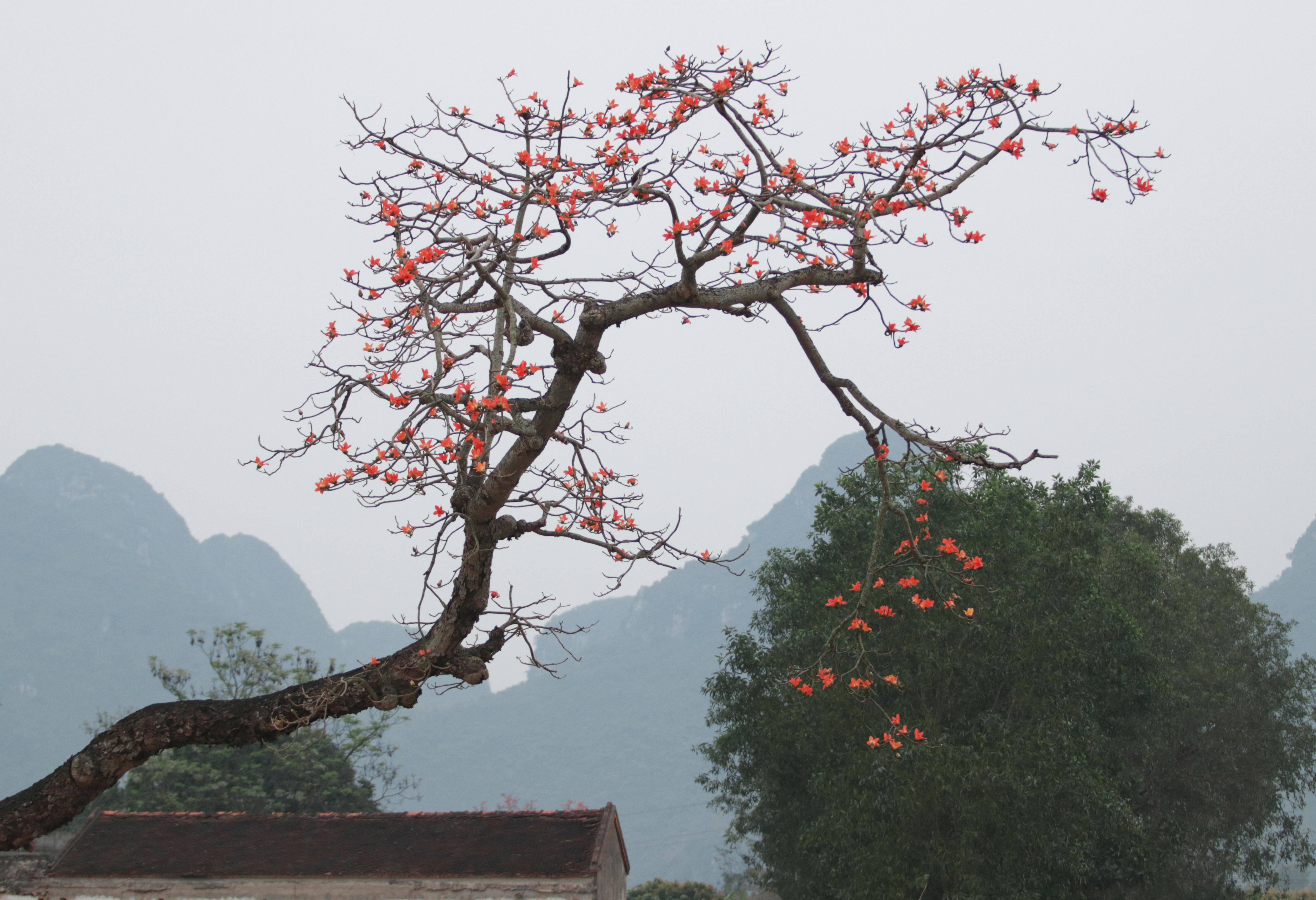 Hoa gạo nhuộm đỏ những góc trời ở ngoại thành Hà Nội - 18