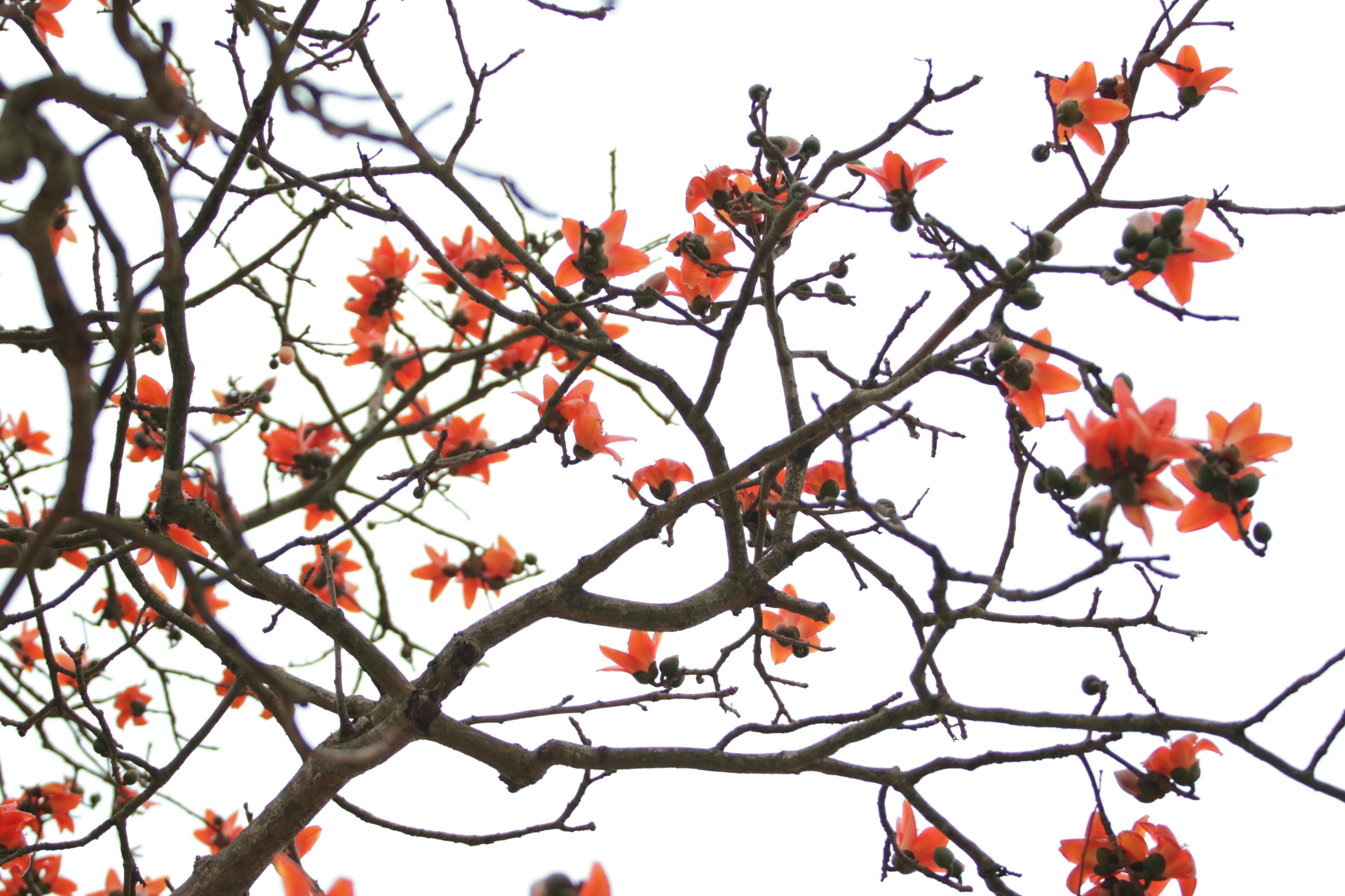 Hoa gạo nhuộm đỏ những góc trời ở ngoại thành Hà Nội - 3