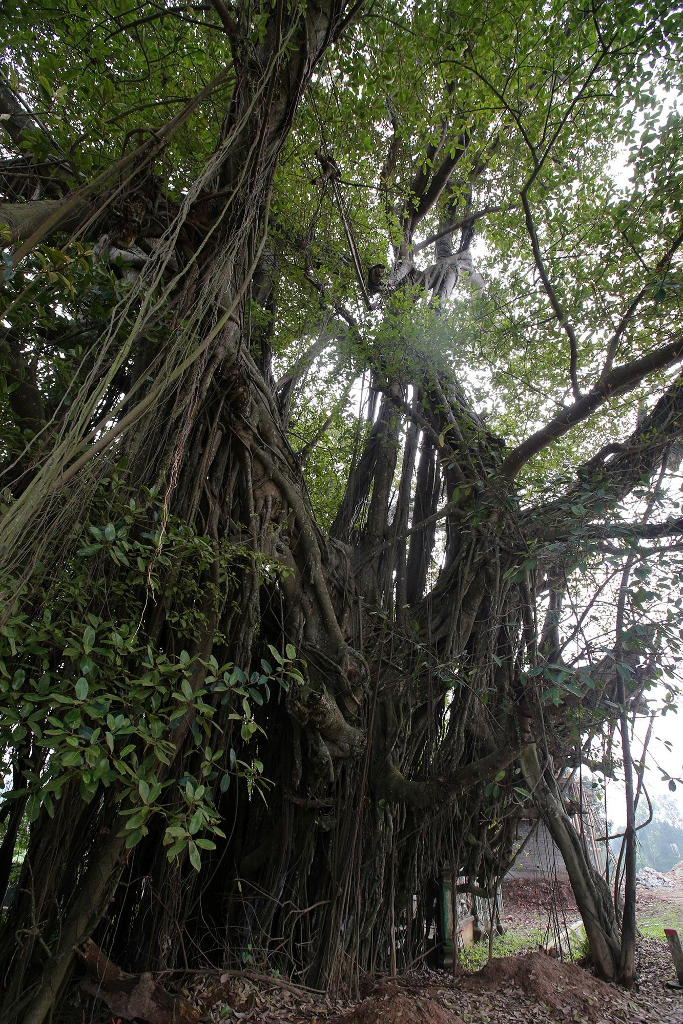 Chuyện ít người biết về cây đa khổng lồ ở xã Viên Nội - 10