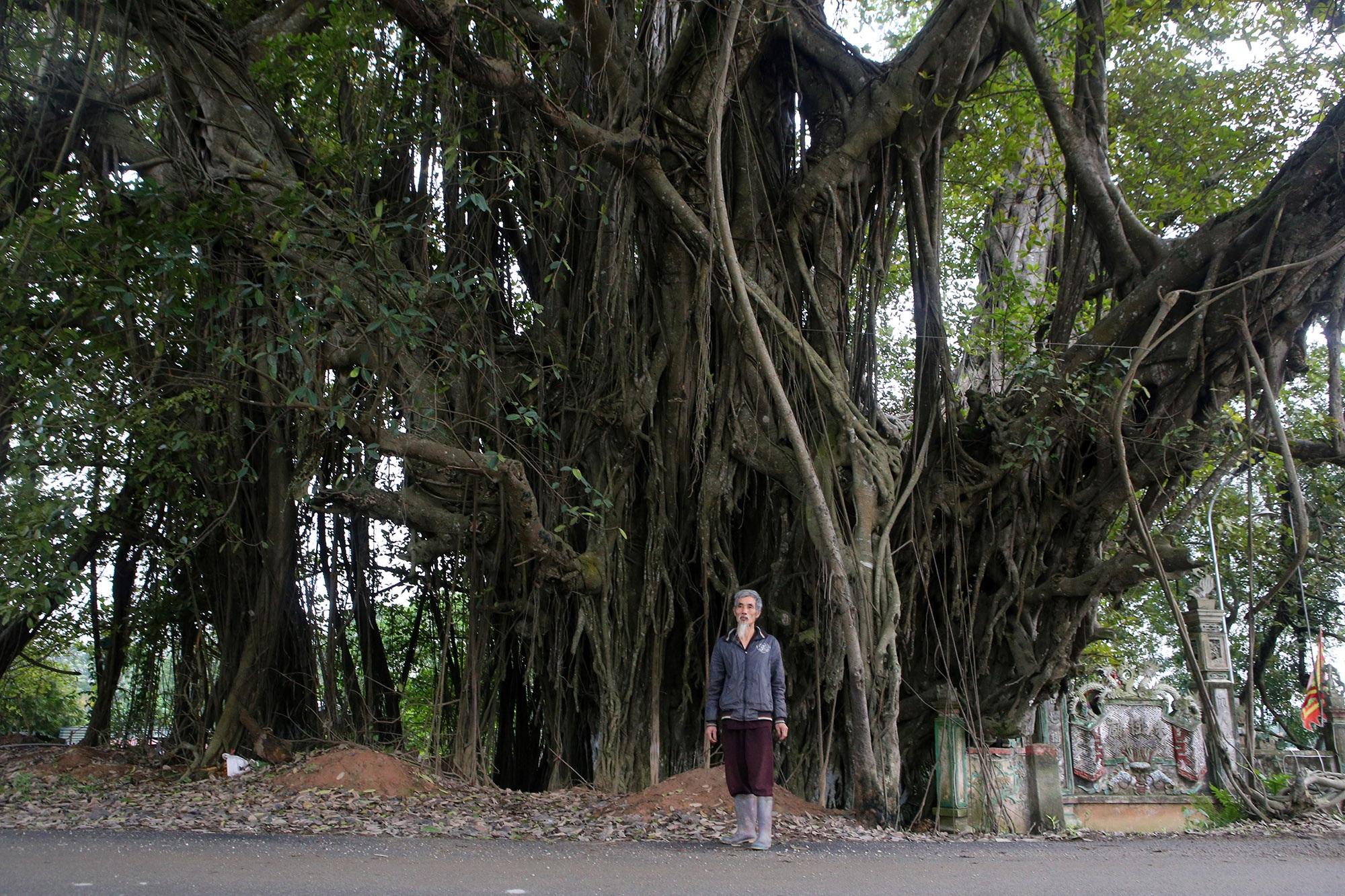 Chuyện ít người biết về cây đa khổng lồ ở xã Viên Nội - 11