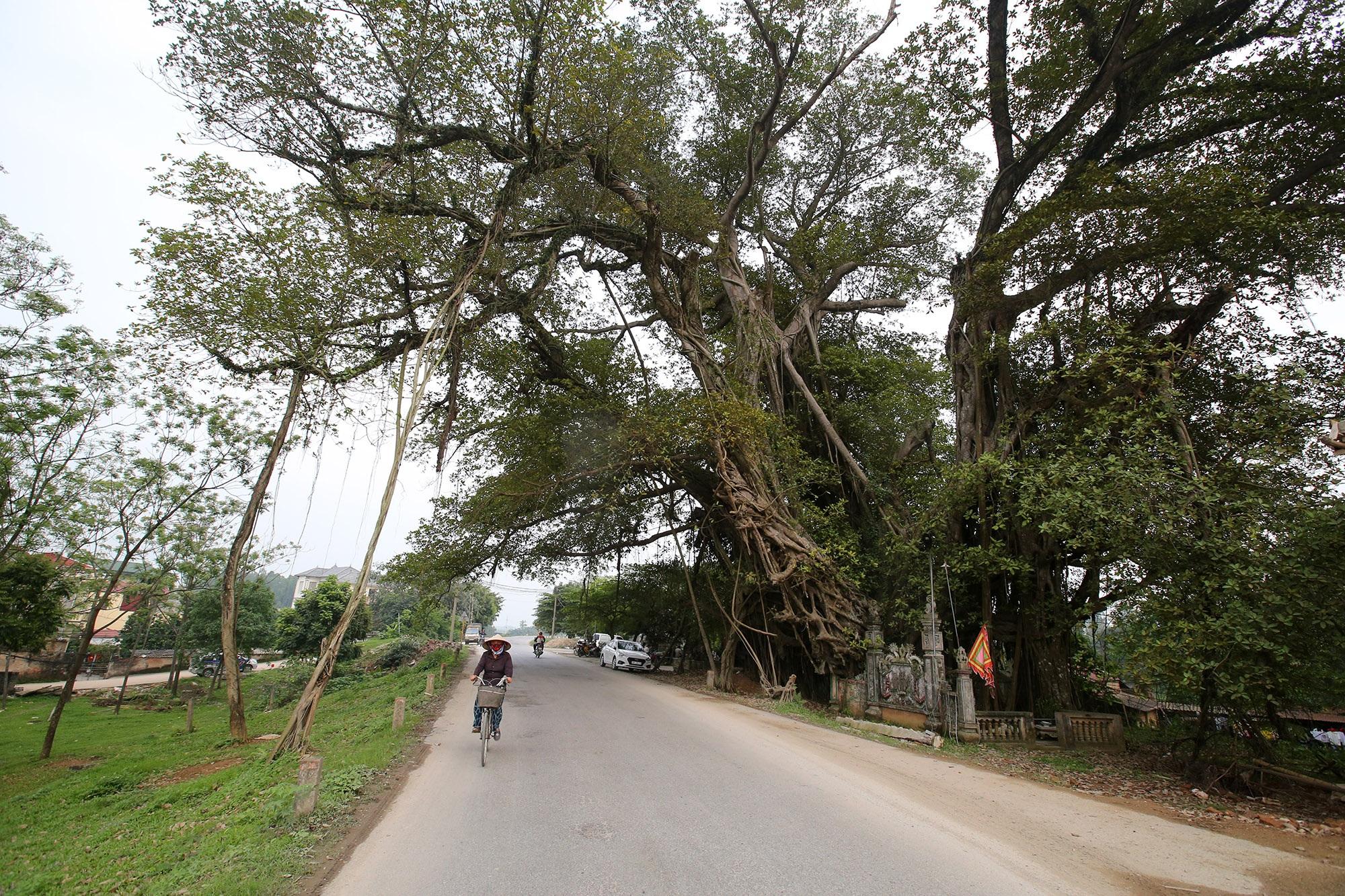 Chuyện ít người biết về cây đa khổng lồ ở xã Viên Nội - 12