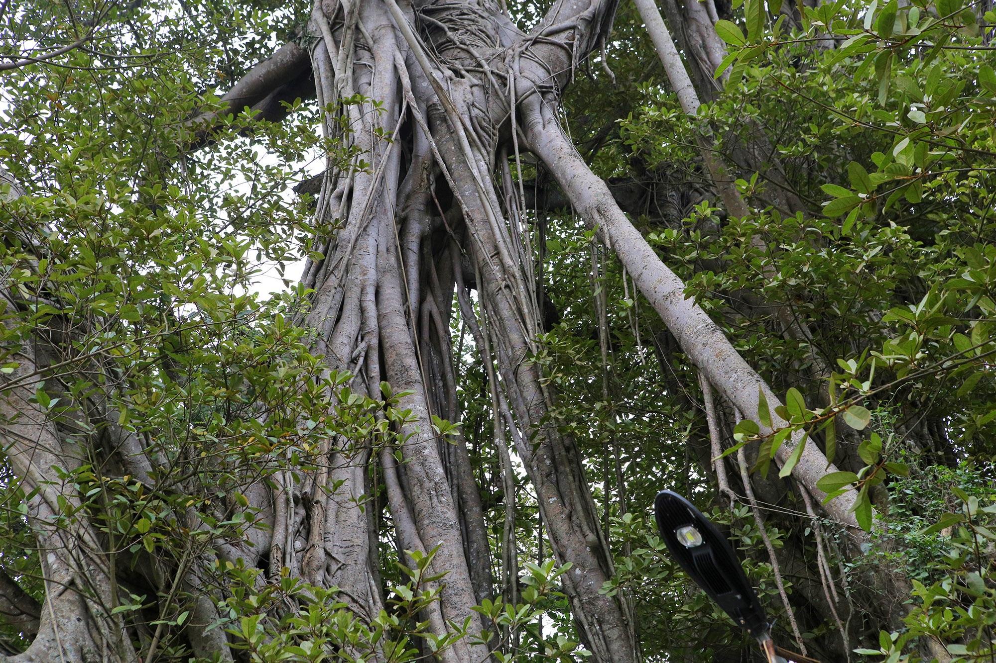 Chuyện ít người biết về cây đa khổng lồ ở xã Viên Nội - 13