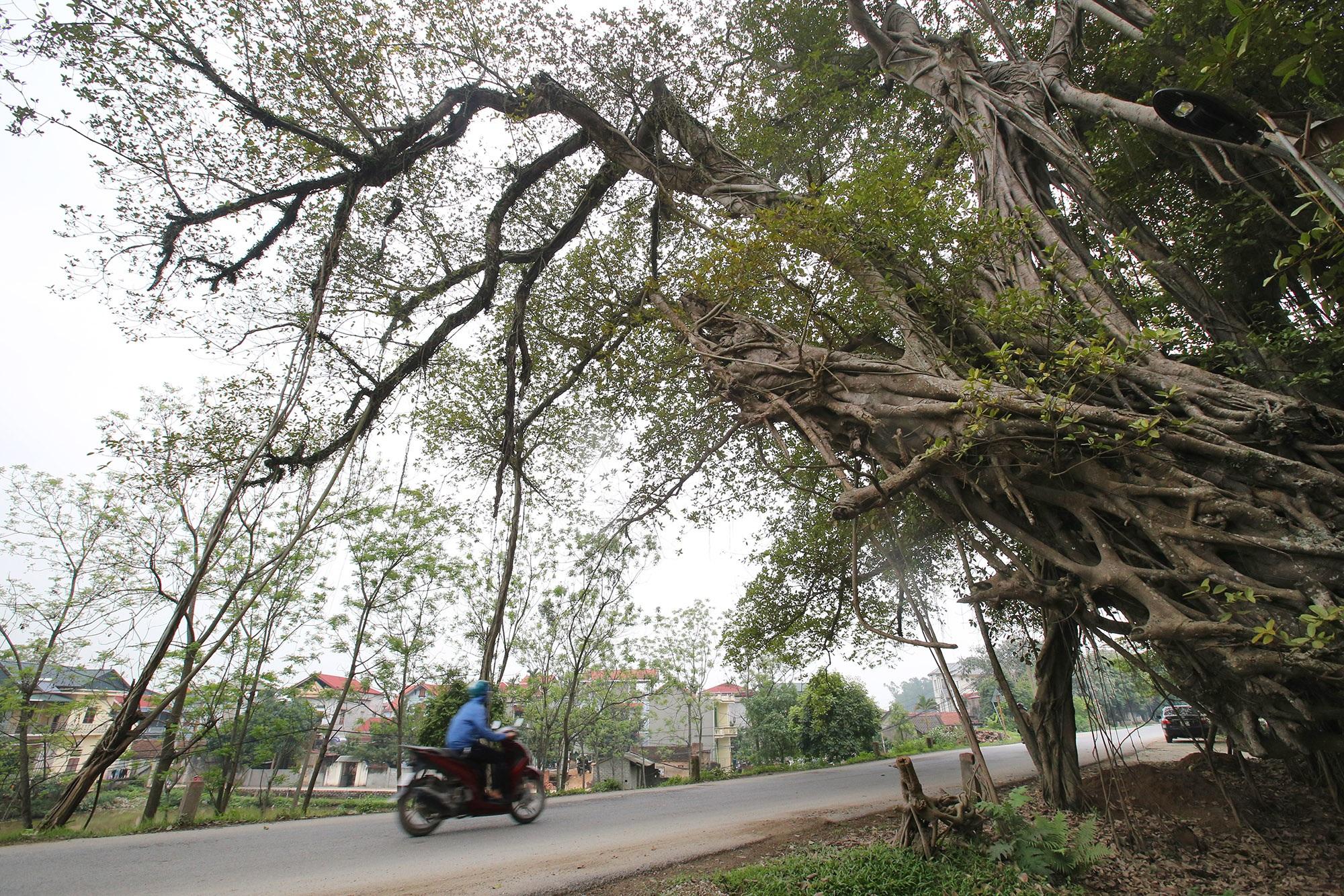 Chuyện ít người biết về cây đa khổng lồ ở xã Viên Nội - 14
