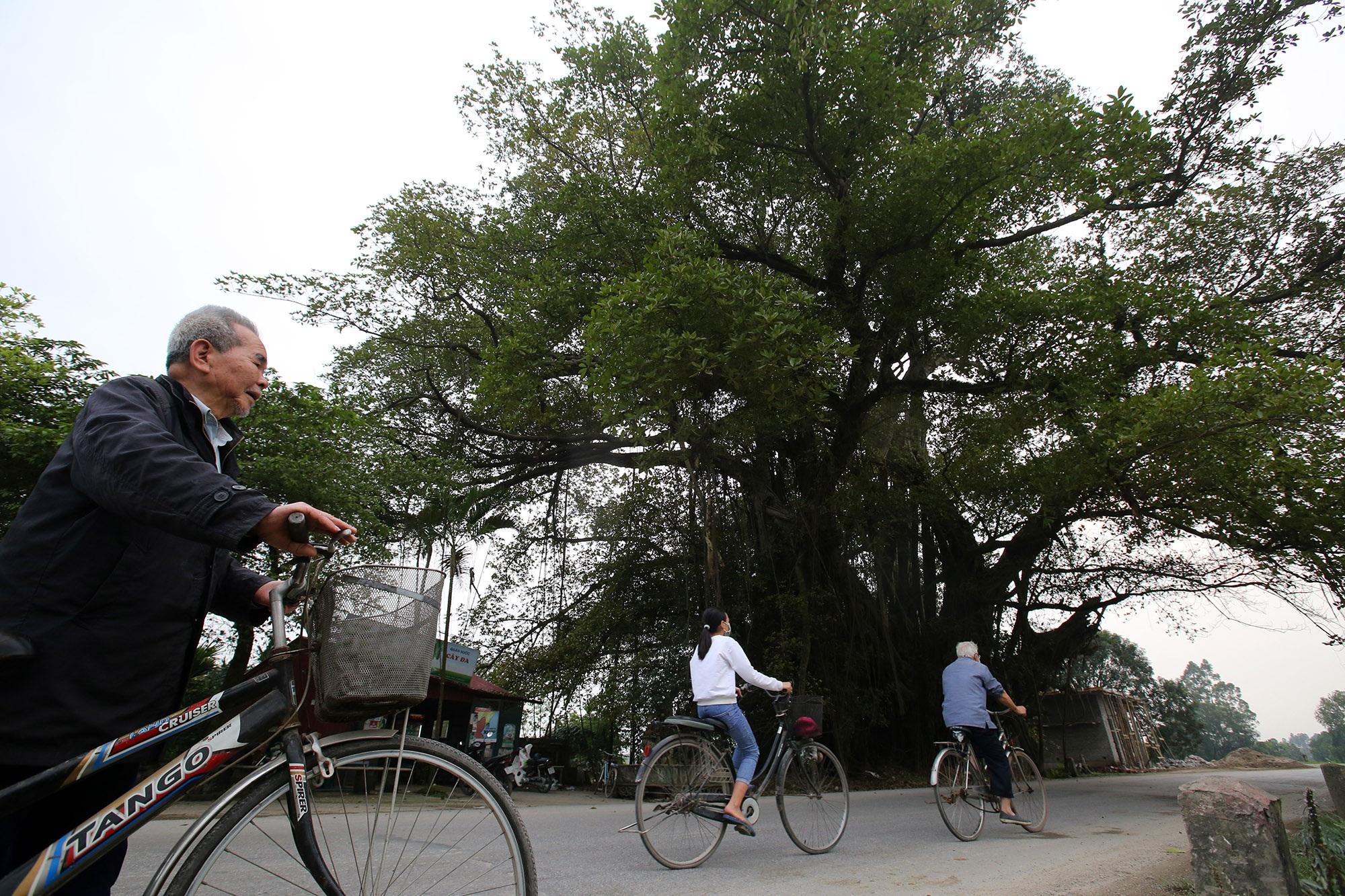 Chuyện ít người biết về cây đa khổng lồ ở xã Viên Nội - 15