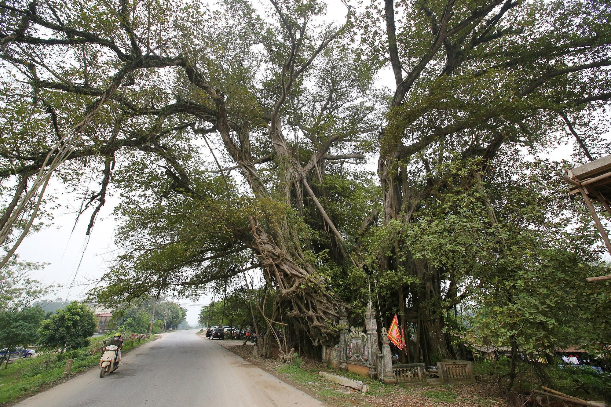 Chuyện ít người biết về cây đa khổng lồ ở xã Viên Nội - 2
