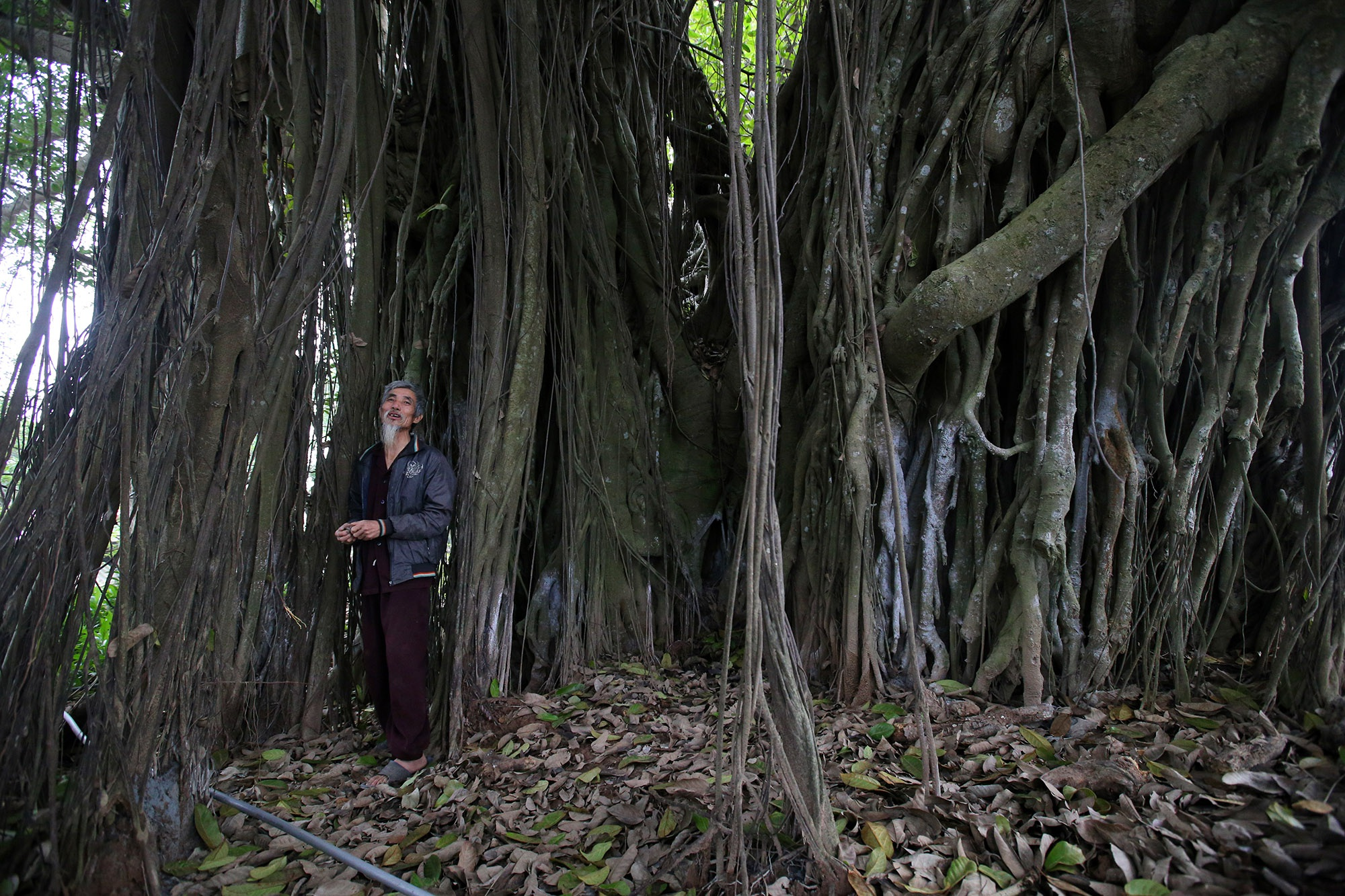 Chuyện ít người biết về cây đa khổng lồ ở xã Viên Nội - 3