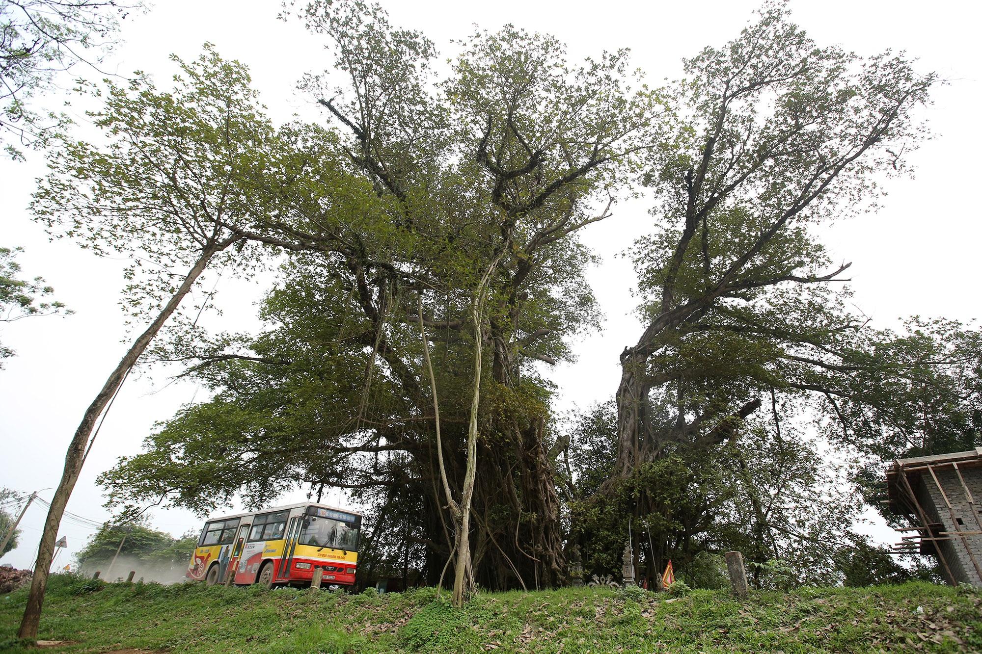 Chuyện ít người biết về cây đa khổng lồ ở xã Viên Nội - 4