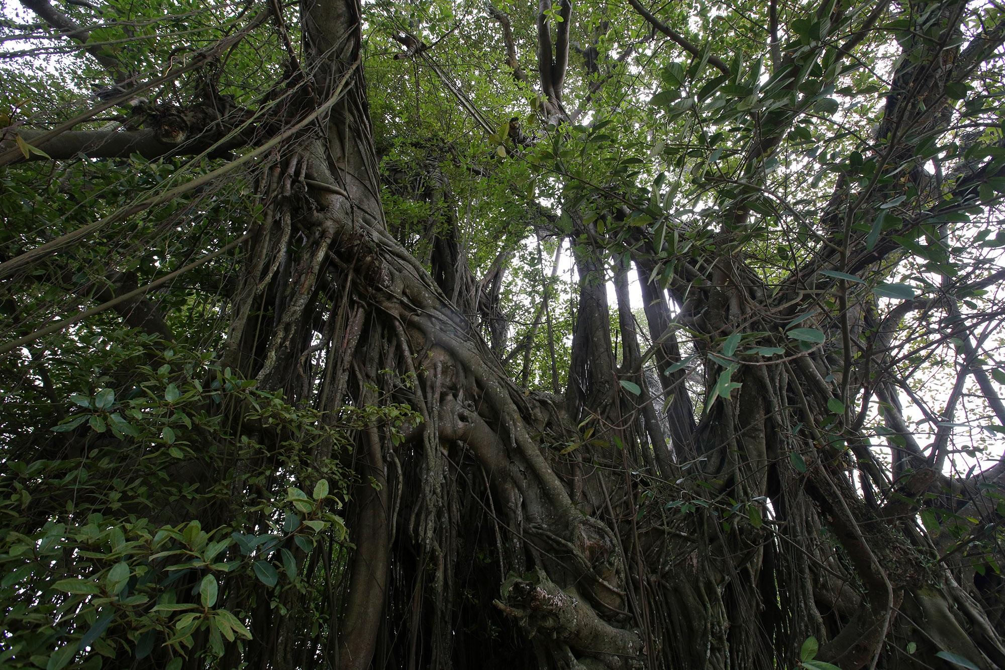 Chuyện ít người biết về cây đa khổng lồ ở xã Viên Nội - 5