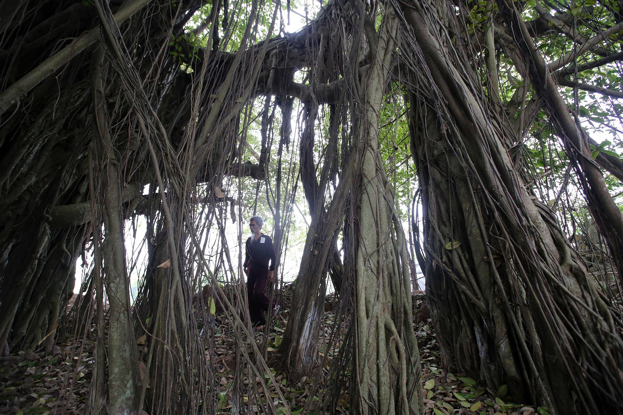 Chuyện ít người biết về cây đa khổng lồ ở xã Viên Nội - 6