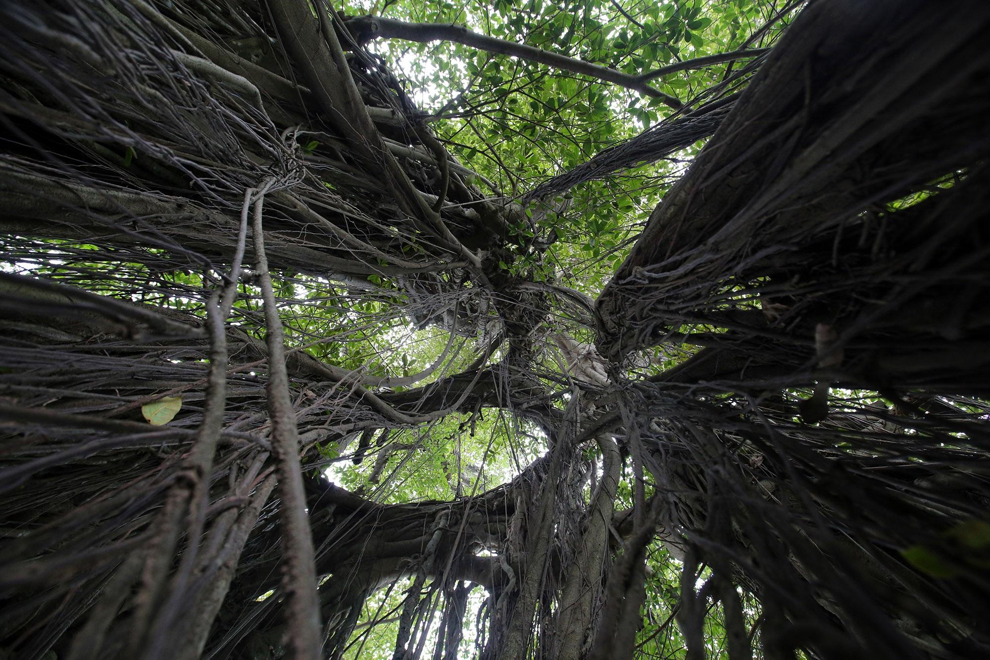 Chuyện ít người biết về cây đa khổng lồ ở xã Viên Nội - 8