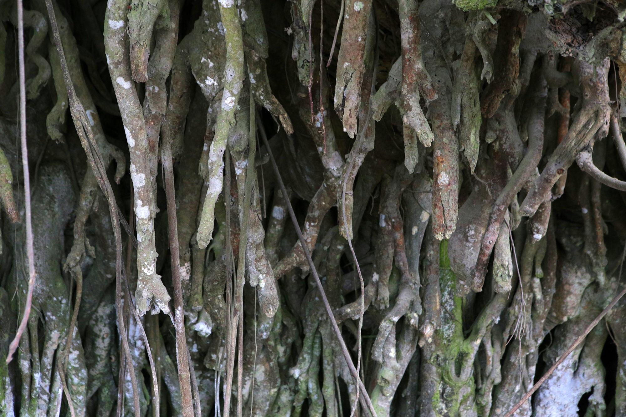 Chuyện ít người biết về cây đa khổng lồ ở xã Viên Nội - 9