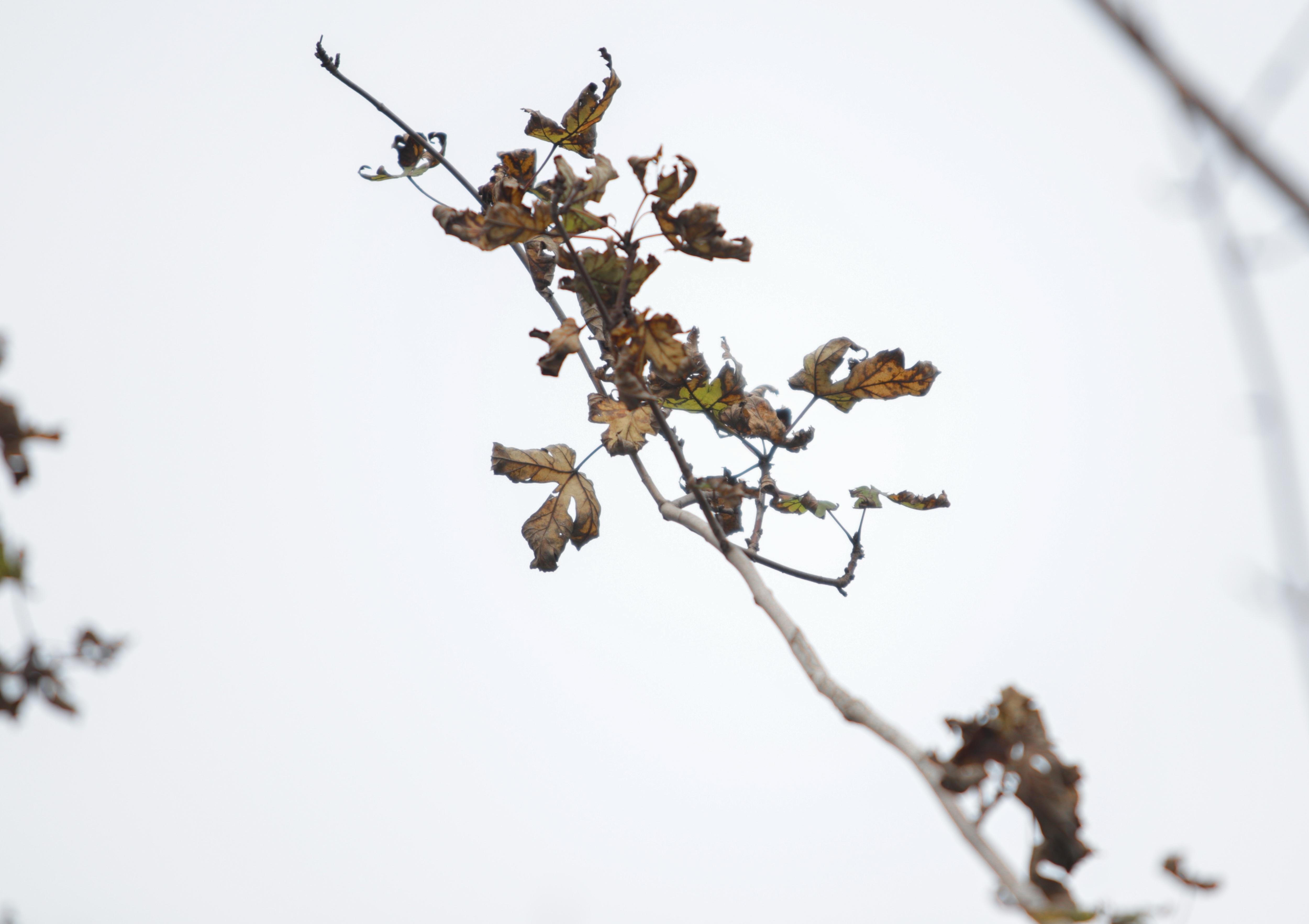 Nắng nóng thiêu đốt hàng trăm cây phong lá đỏ sống như chết khô - 11