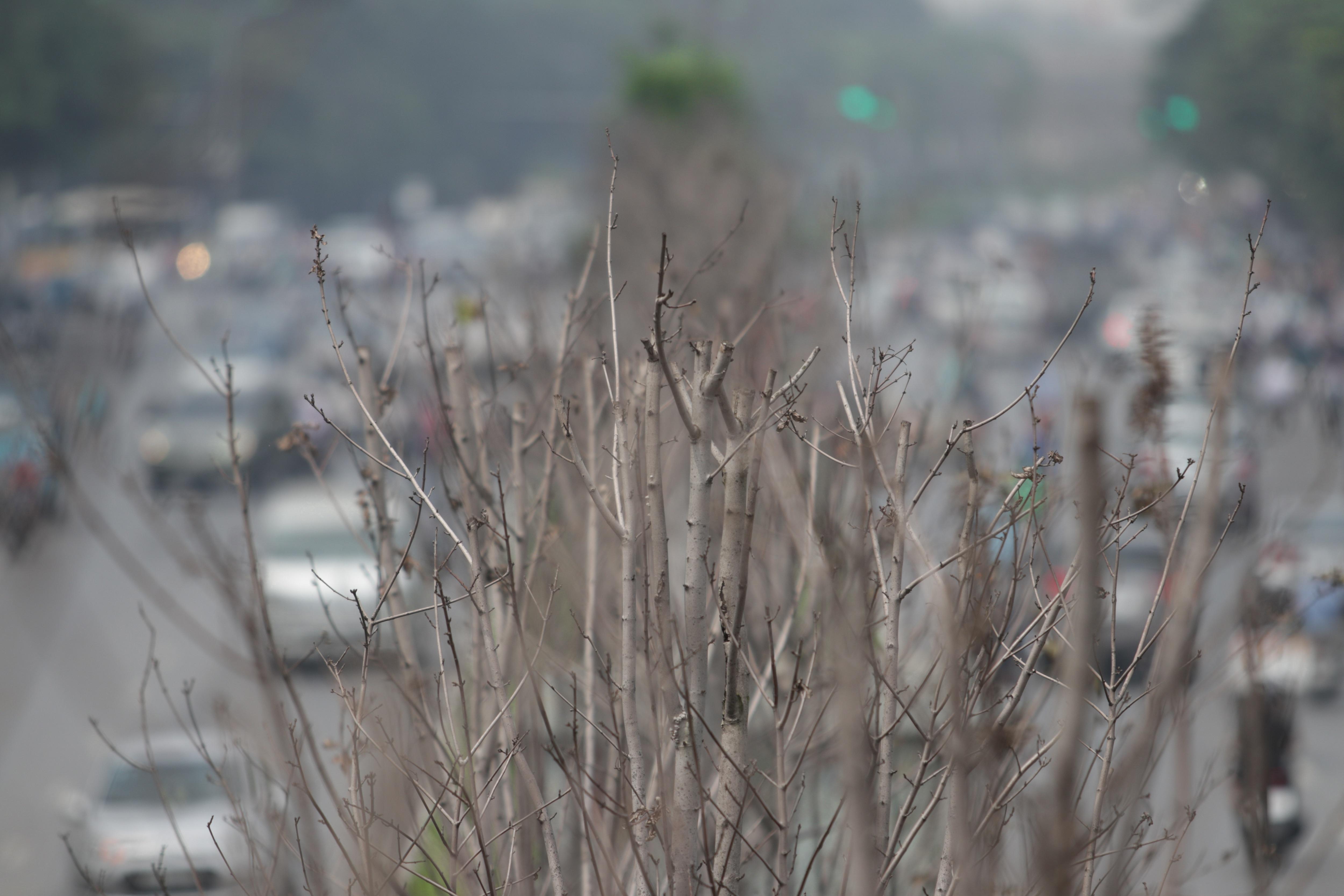 Nắng nóng thiêu đốt hàng trăm cây phong lá đỏ sống như chết khô - 9