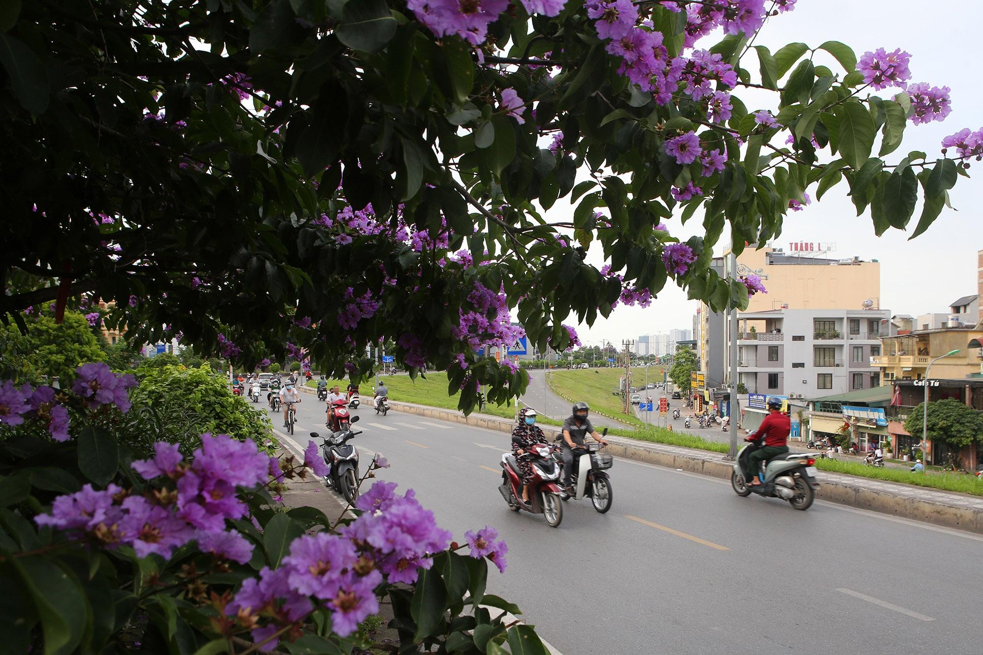 Ngắm hoa bằng lăng nở tím trời Hà Nội - 1