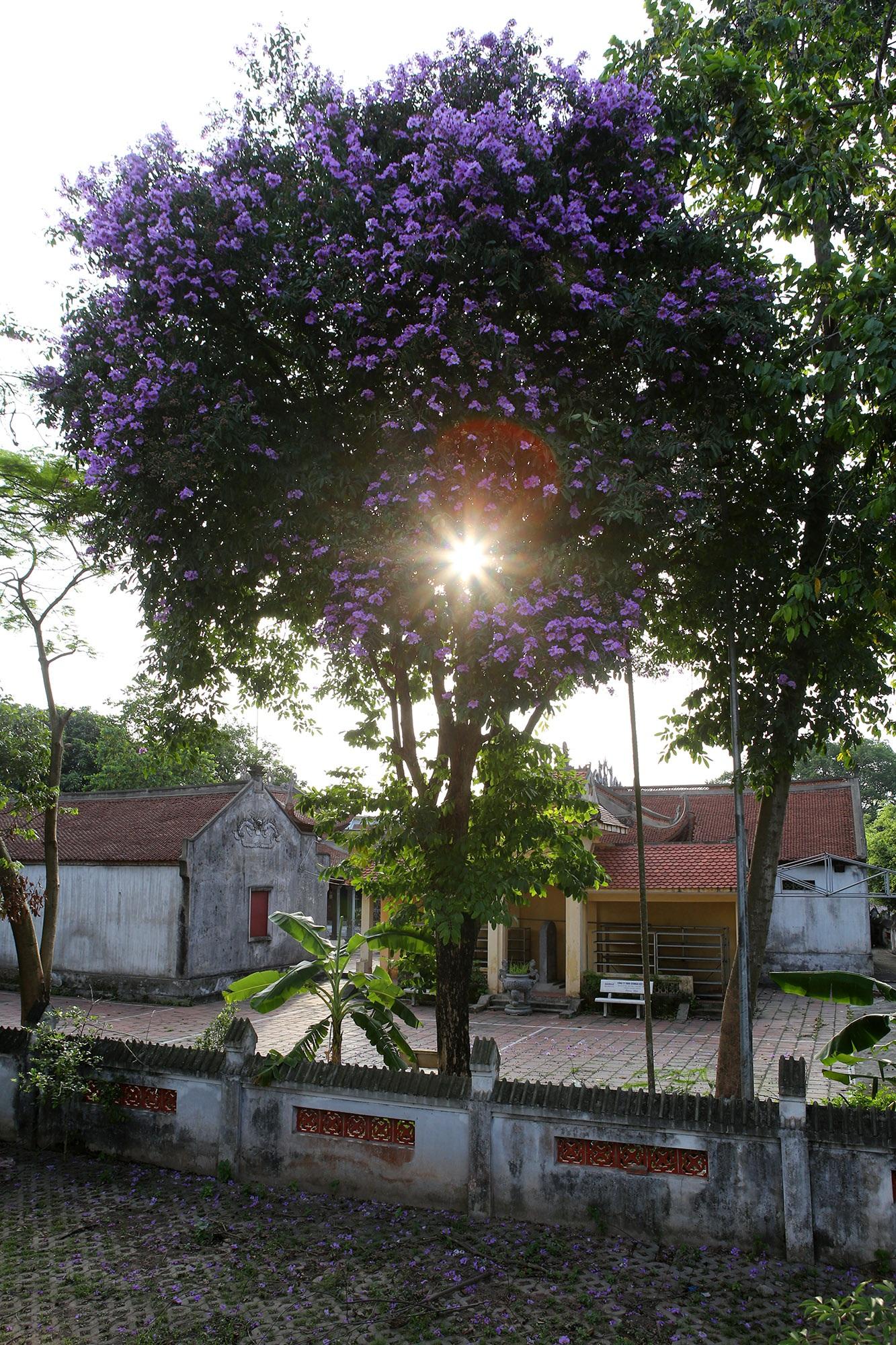 Ngắm hoa bằng lăng nở tím trời Hà Nội - 11