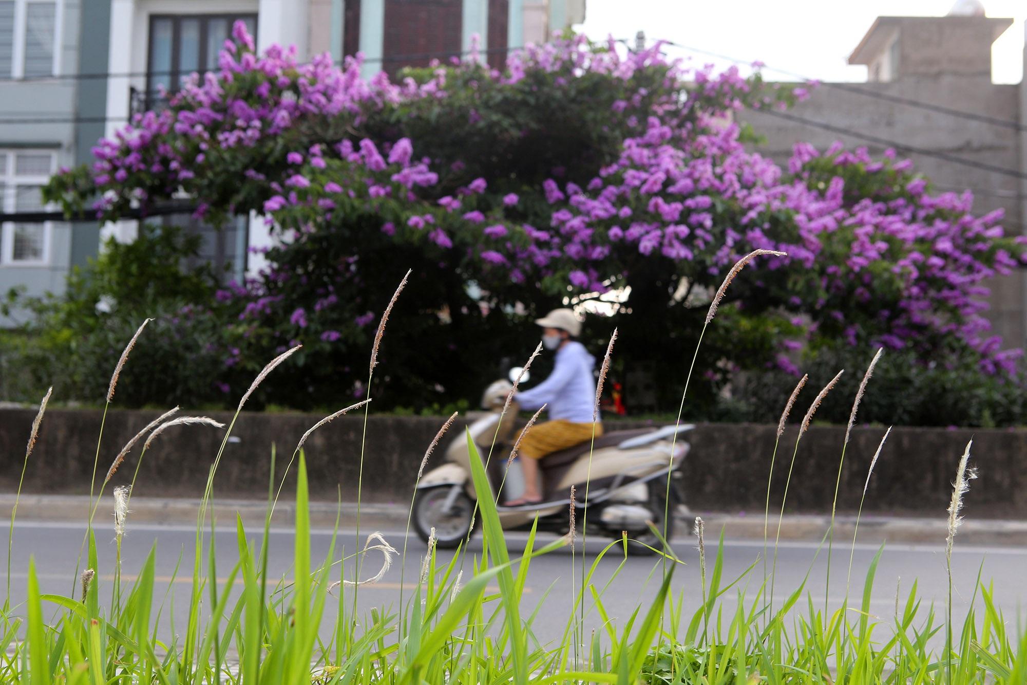 Ngắm hoa bằng lăng nở tím trời Hà Nội - 2