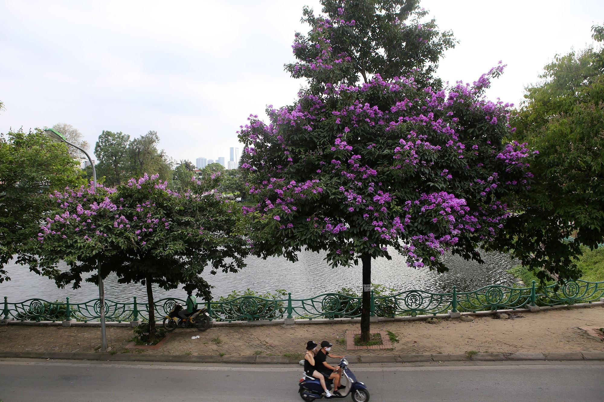 Ngắm hoa bằng lăng nở tím trời Hà Nội - 4