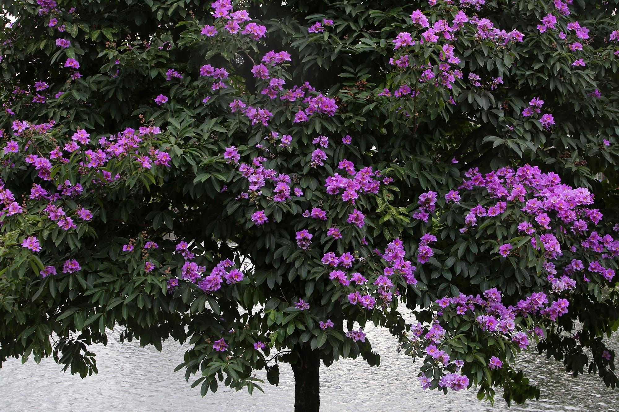 Ngắm hoa bằng lăng nở tím trời Hà Nội - 5