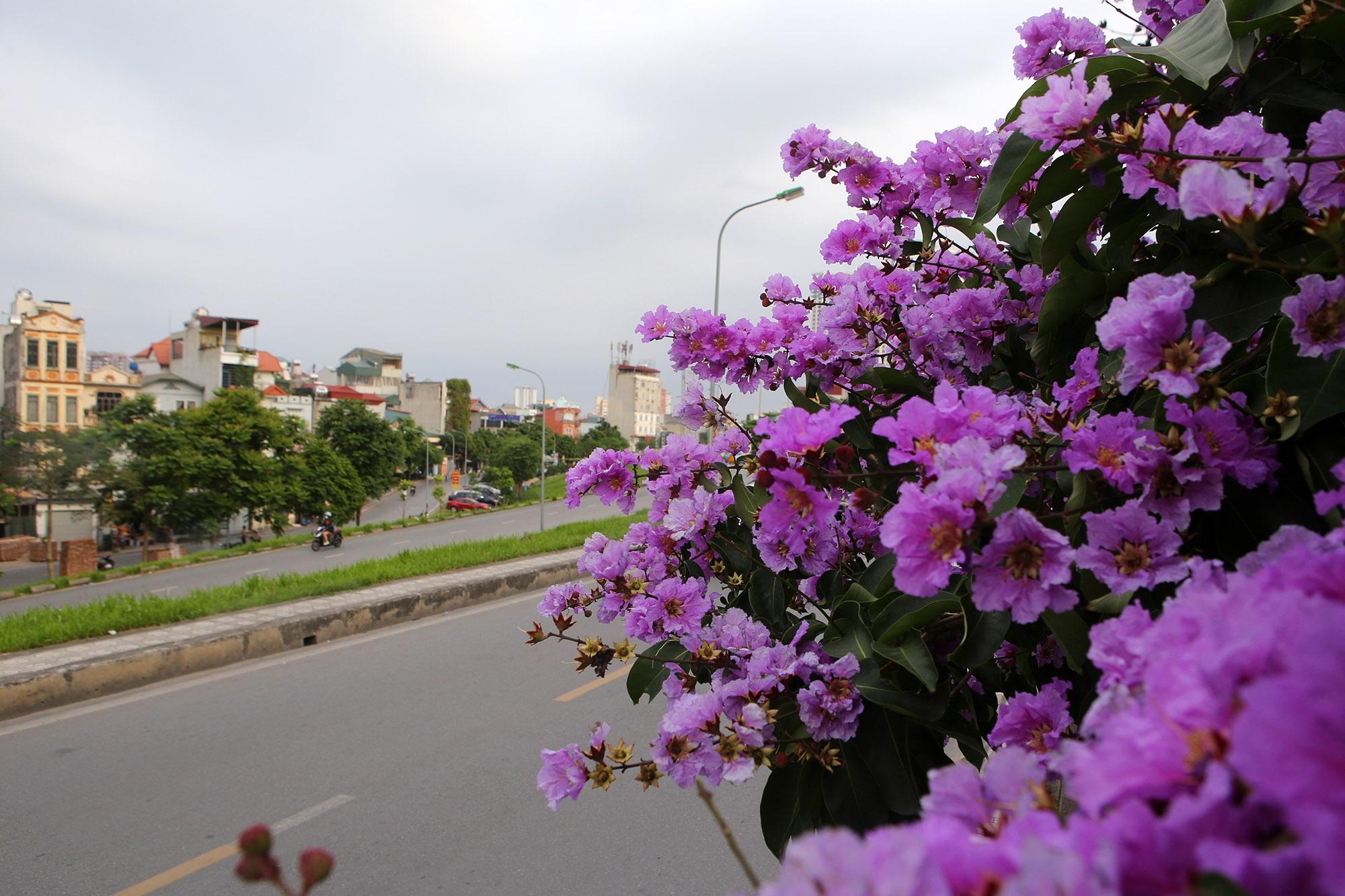 Ngắm hoa bằng lăng nở tím trời Hà Nội - 6