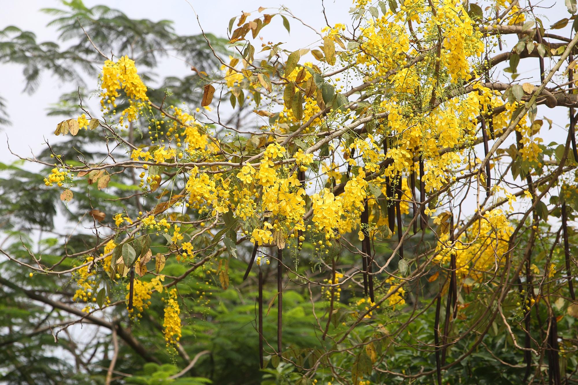 Hồ Tây thơ mộng trong sắc hoa muồng hoàng yến - 13