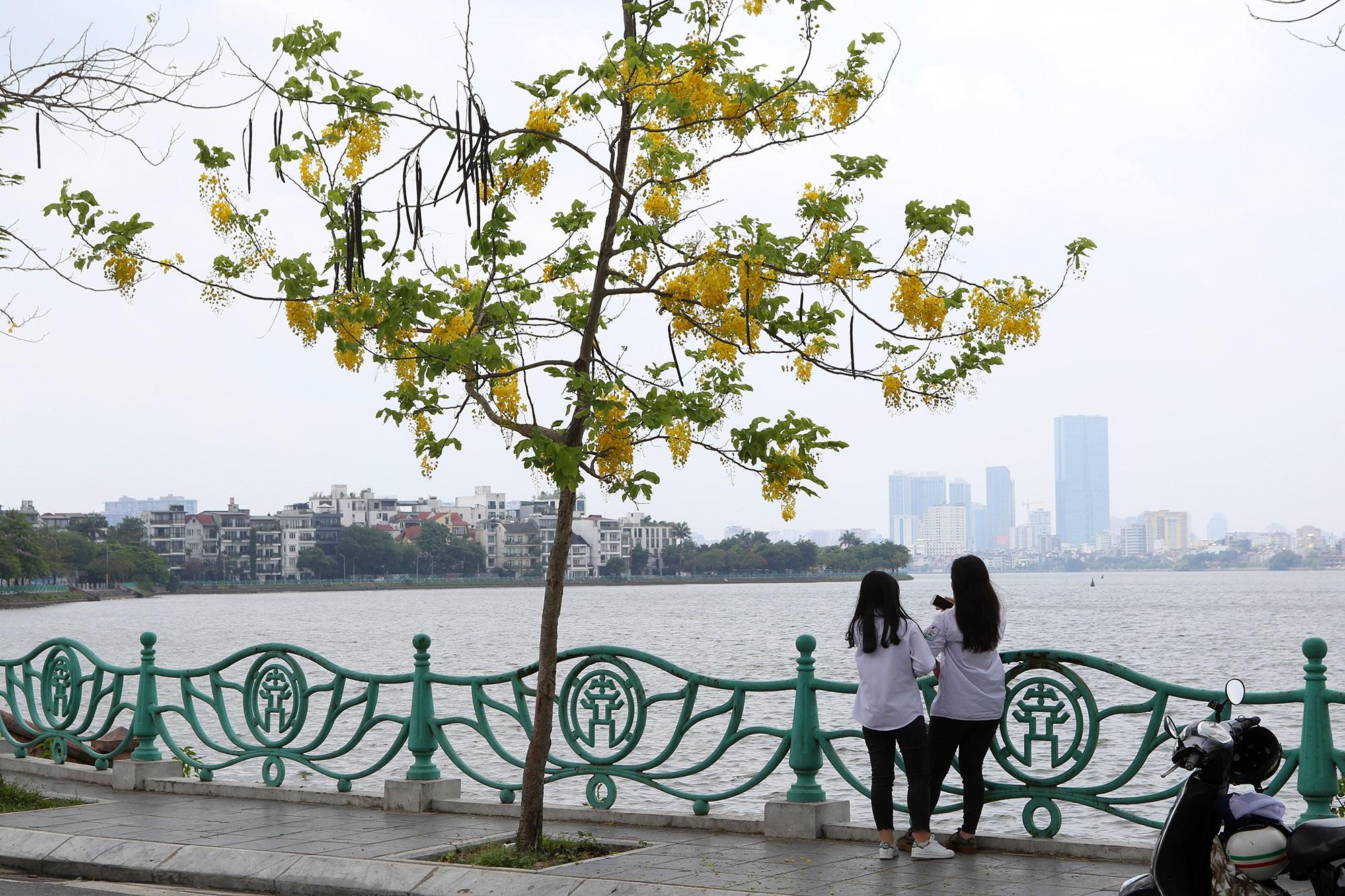Hồ Tây thơ mộng trong sắc hoa muồng hoàng yến - 2