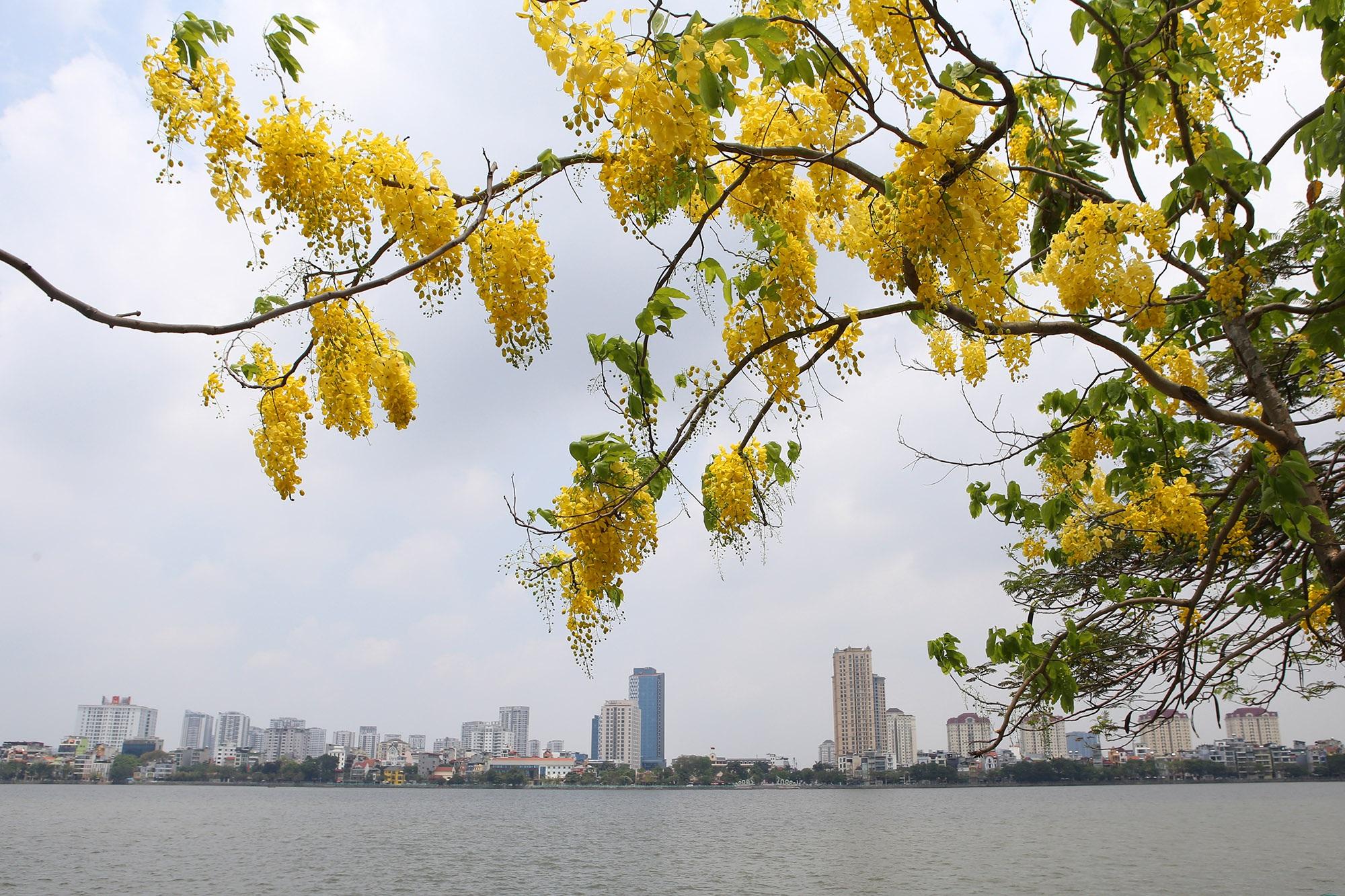 Hồ Tây thơ mộng trong sắc hoa muồng hoàng yến - 5