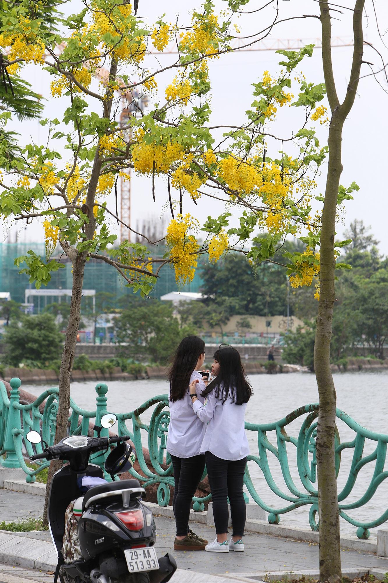 Hồ Tây thơ mộng trong sắc hoa muồng hoàng yến - 8
