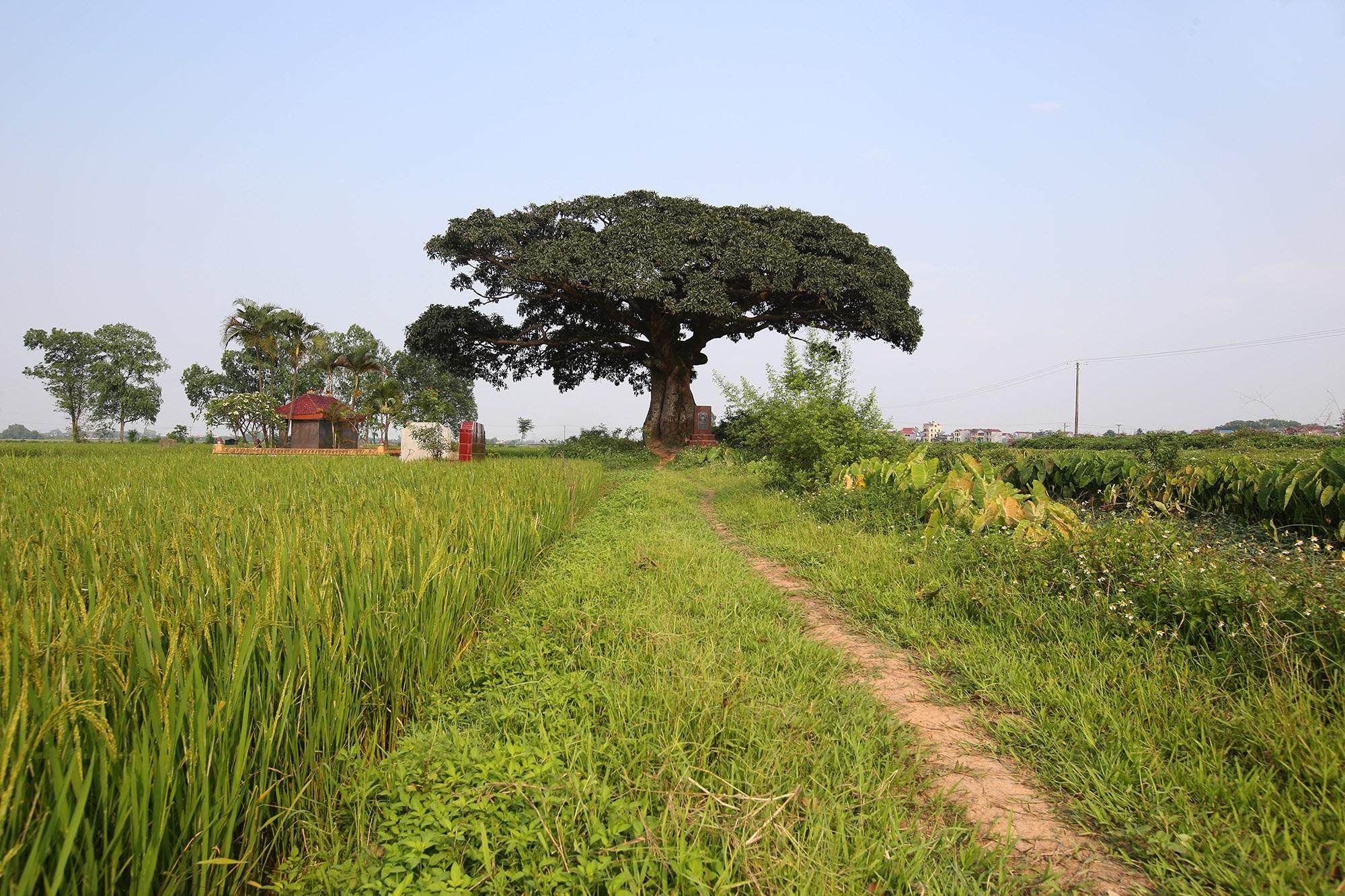 Hà Nội: Cây trôi cô đơn nghìn năm tuổi, báu vật của làng Bình Đà - 1
