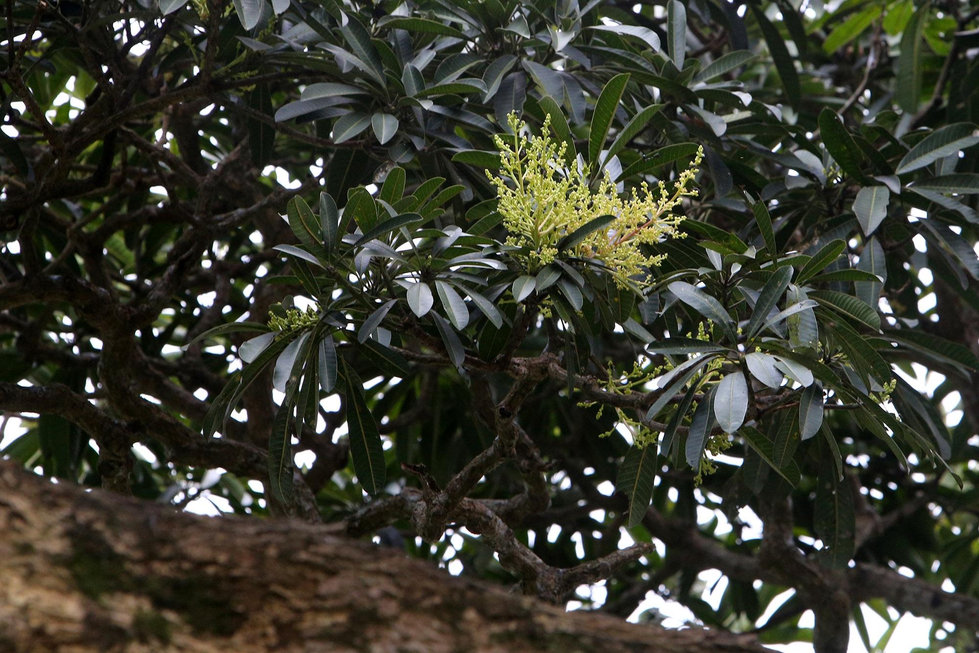 Hà Nội: Cây trôi cô đơn nghìn năm tuổi, báu vật của làng Bình Đà - 10