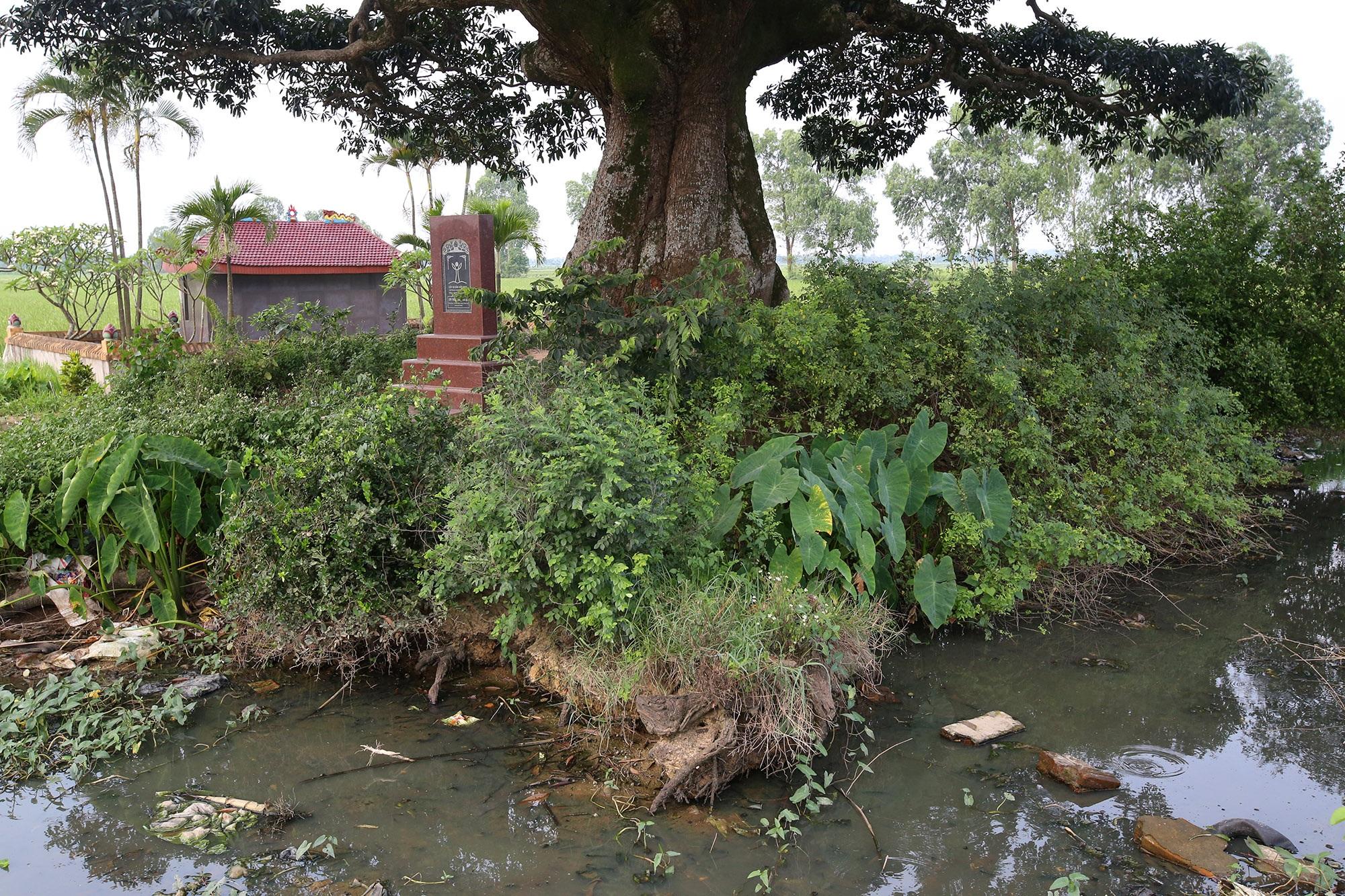 Hà Nội: Cây trôi cô đơn nghìn năm tuổi, báu vật của làng Bình Đà - 11