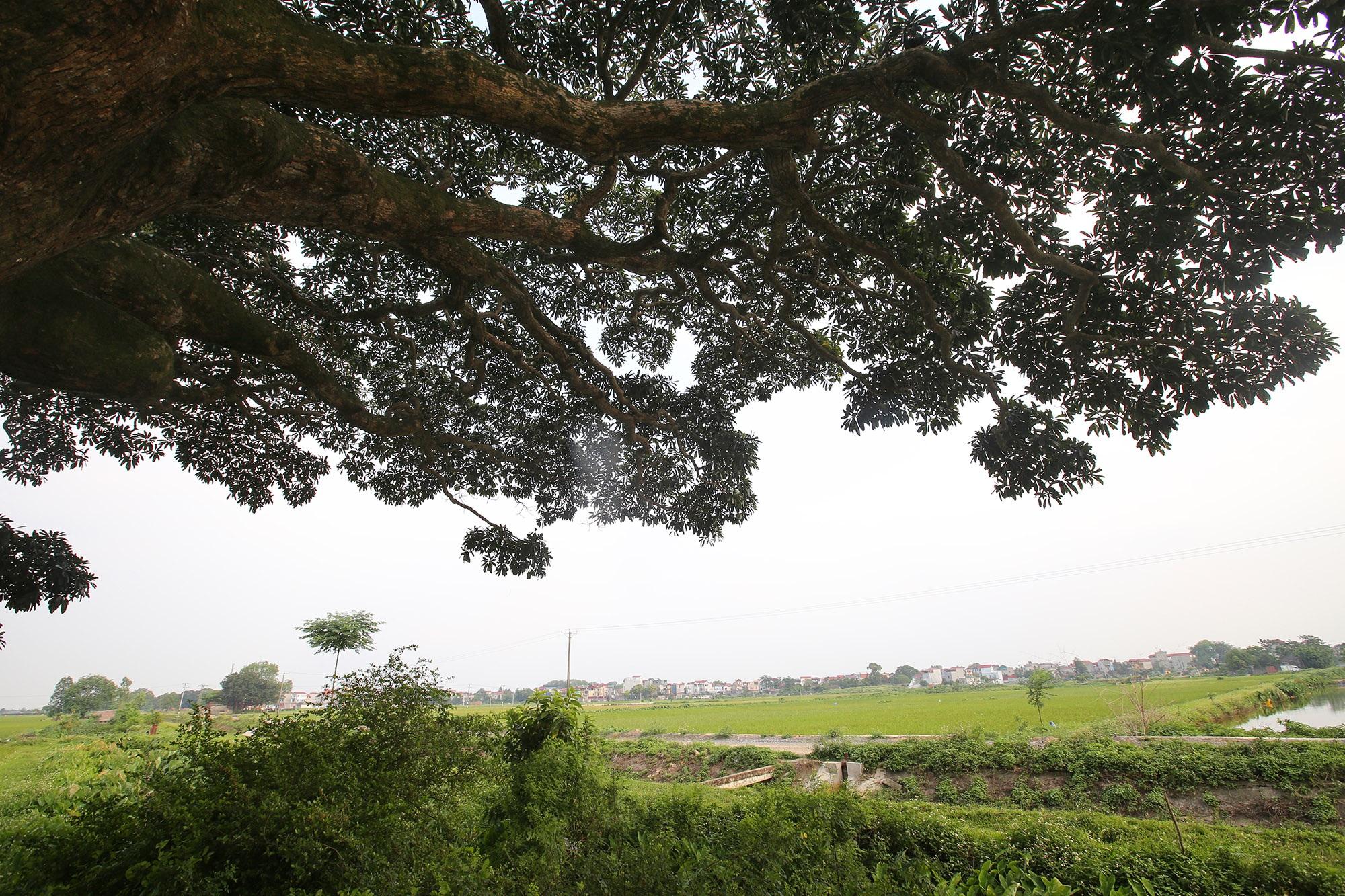 Hà Nội: Cây trôi cô đơn nghìn năm tuổi, báu vật của làng Bình Đà - 5