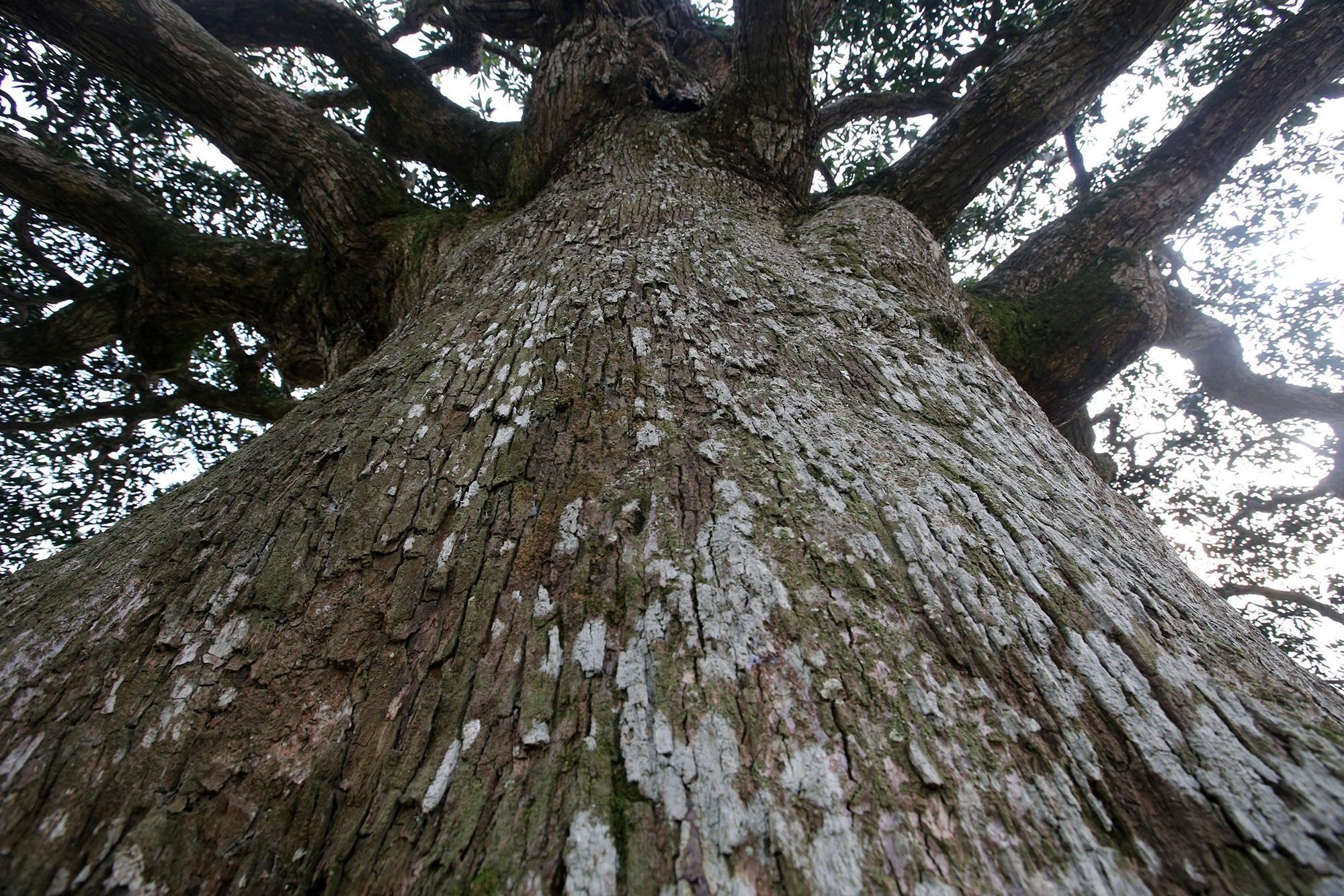 Hà Nội: Cây trôi cô đơn nghìn năm tuổi, báu vật của làng Bình Đà - 6