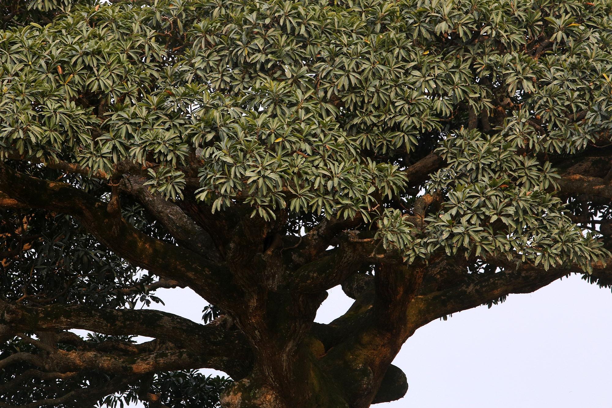 Hà Nội: Cây trôi cô đơn nghìn năm tuổi, báu vật của làng Bình Đà - 9